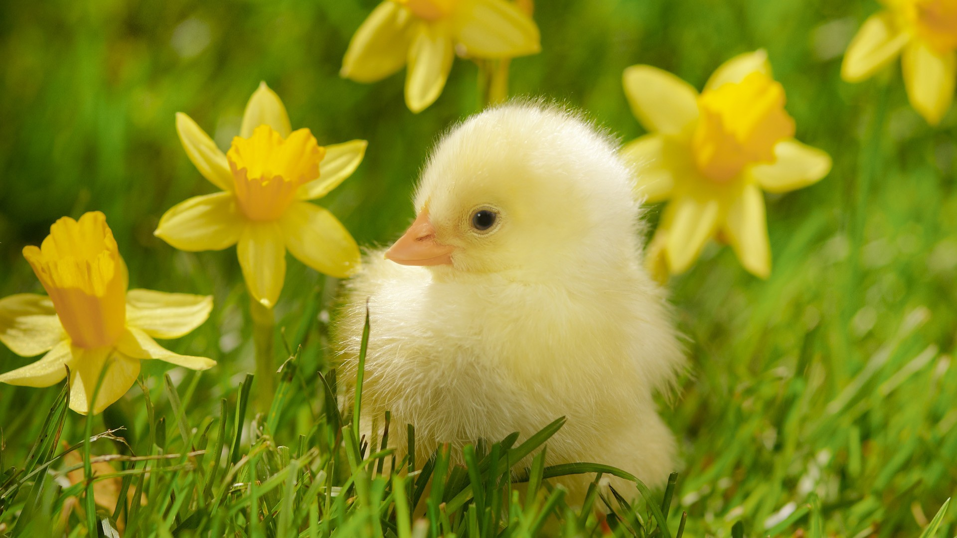 Res: 1920x1080, Birds grass spring chickens daffodils yellow flowers wallpaper