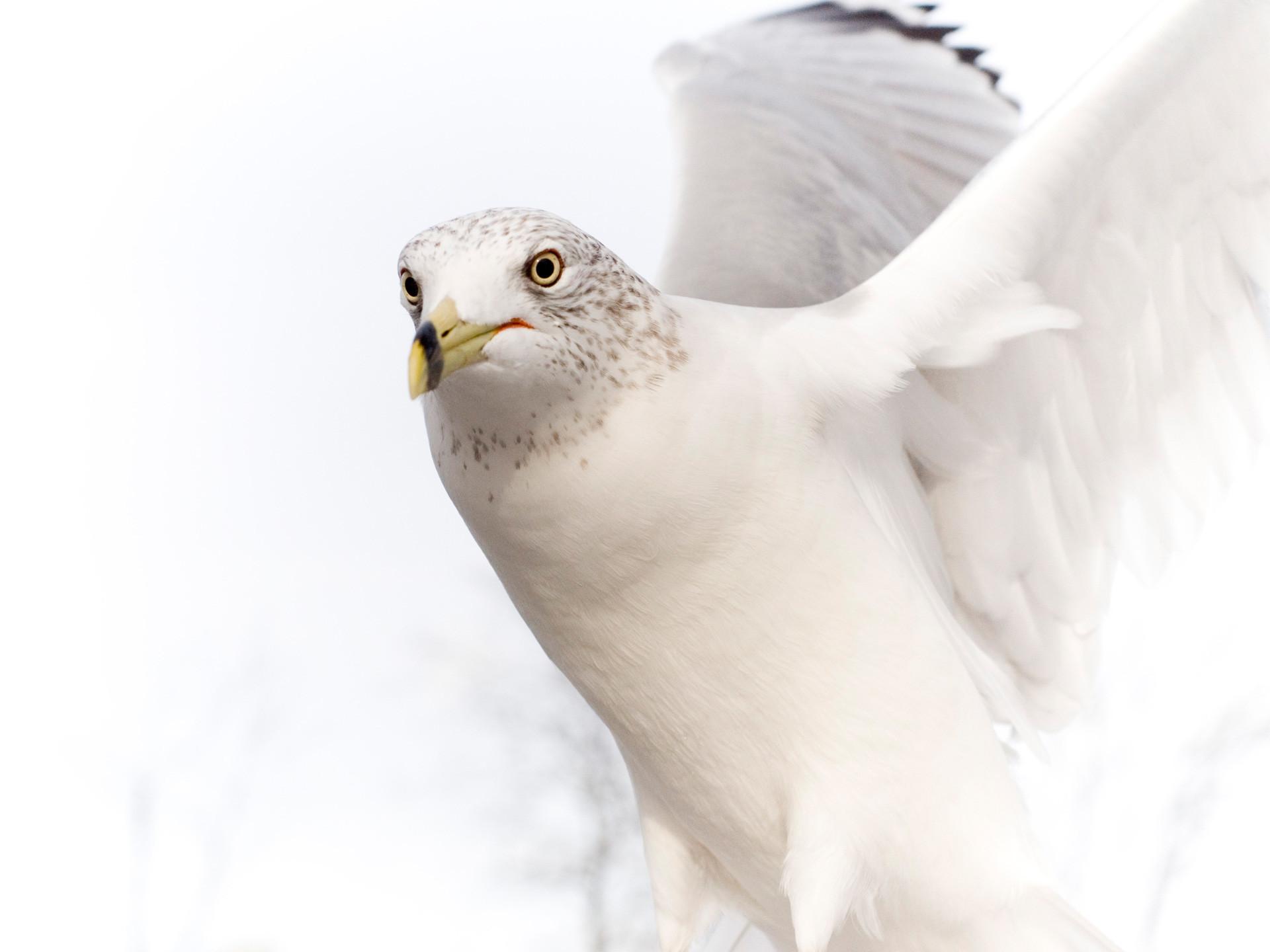 Res: 1920x1440, Dove Pure White Bird