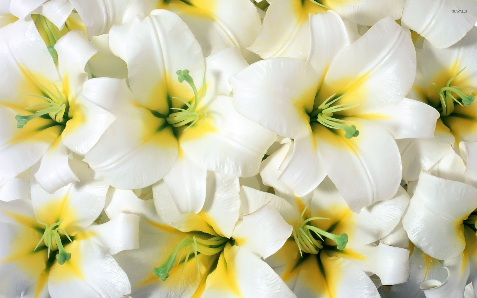 Res: 1920x1200, Pure white lilies wallpaper