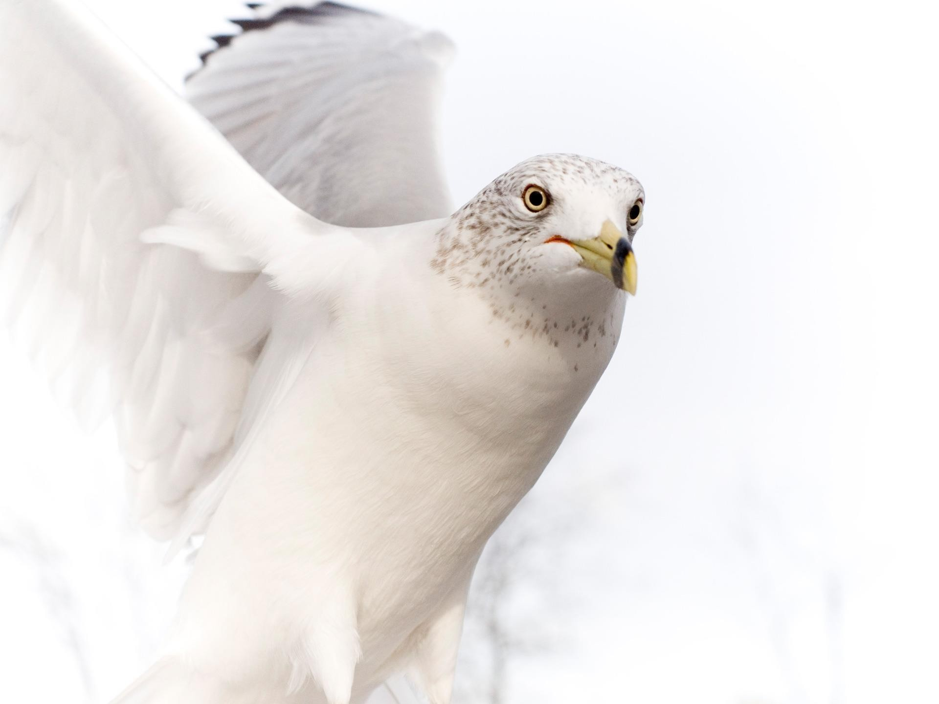 Res: 1920x1440, Dove Pure White Bird Full HD Wallpapers