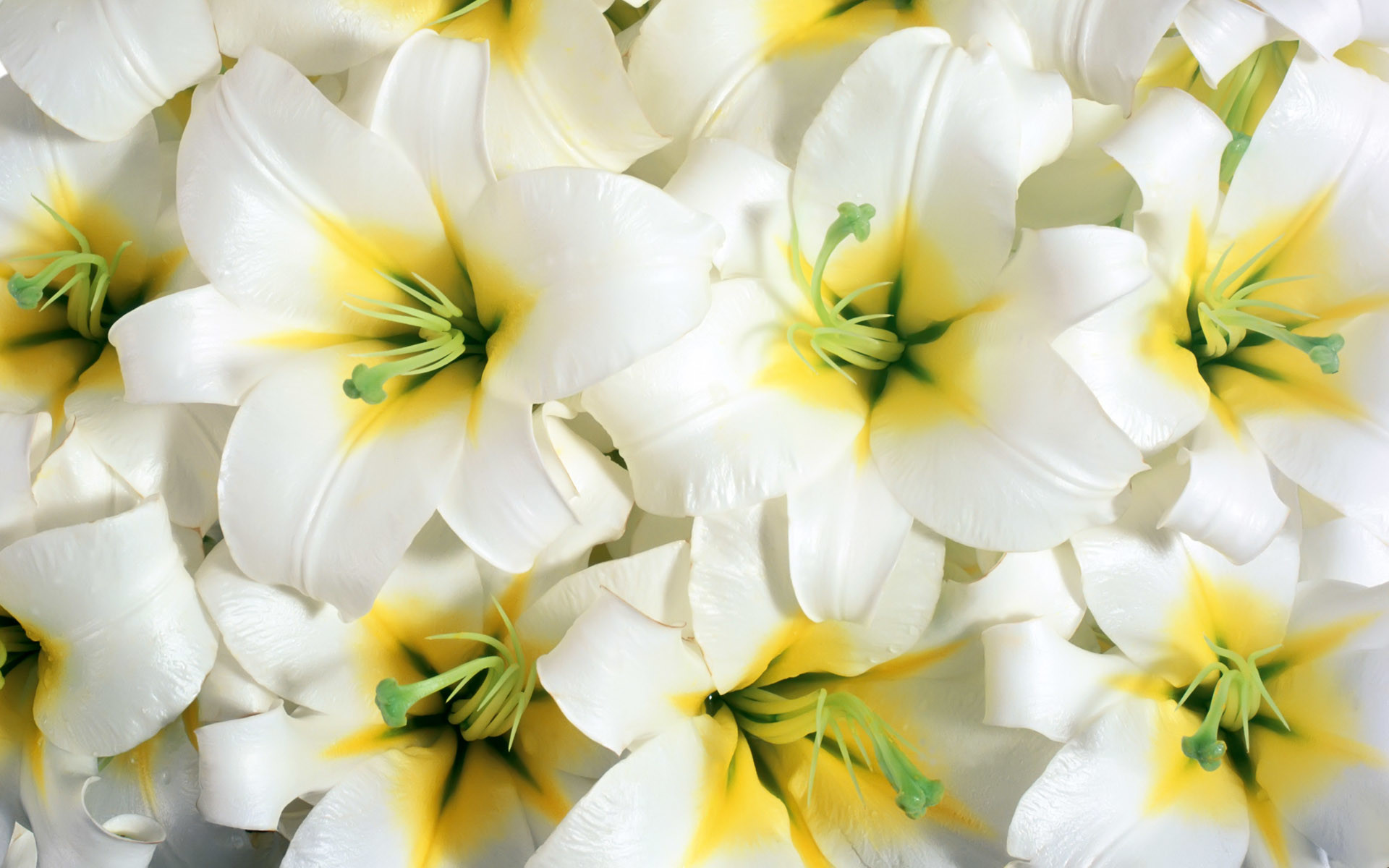 Res: 1920x1200, HD Wallpapers Pure White Lilies
