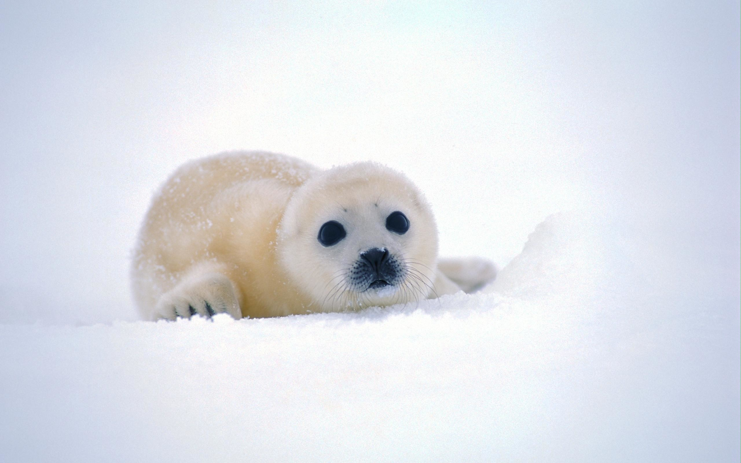 Res: 2560x1600, Cute Baby Seal