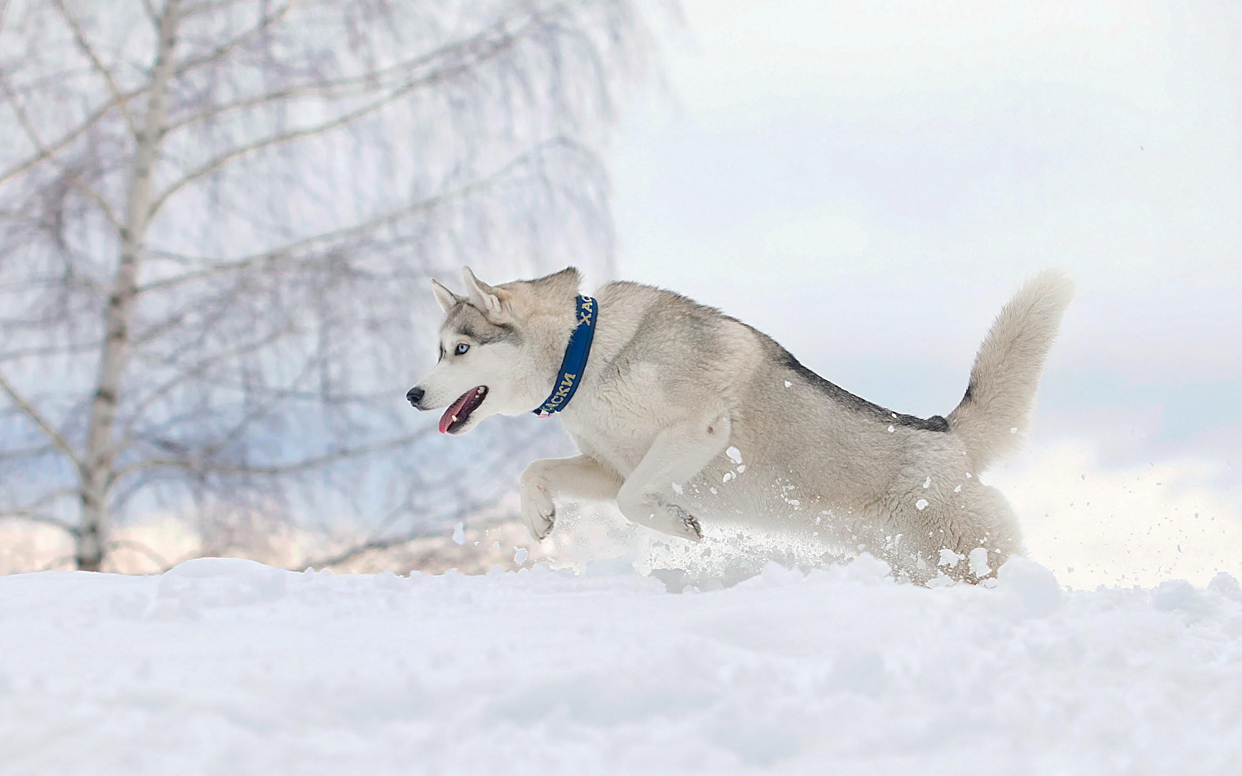 Res: 2560x1600, Dog running snow winter husky wallpaper      433555   WallpaperUP