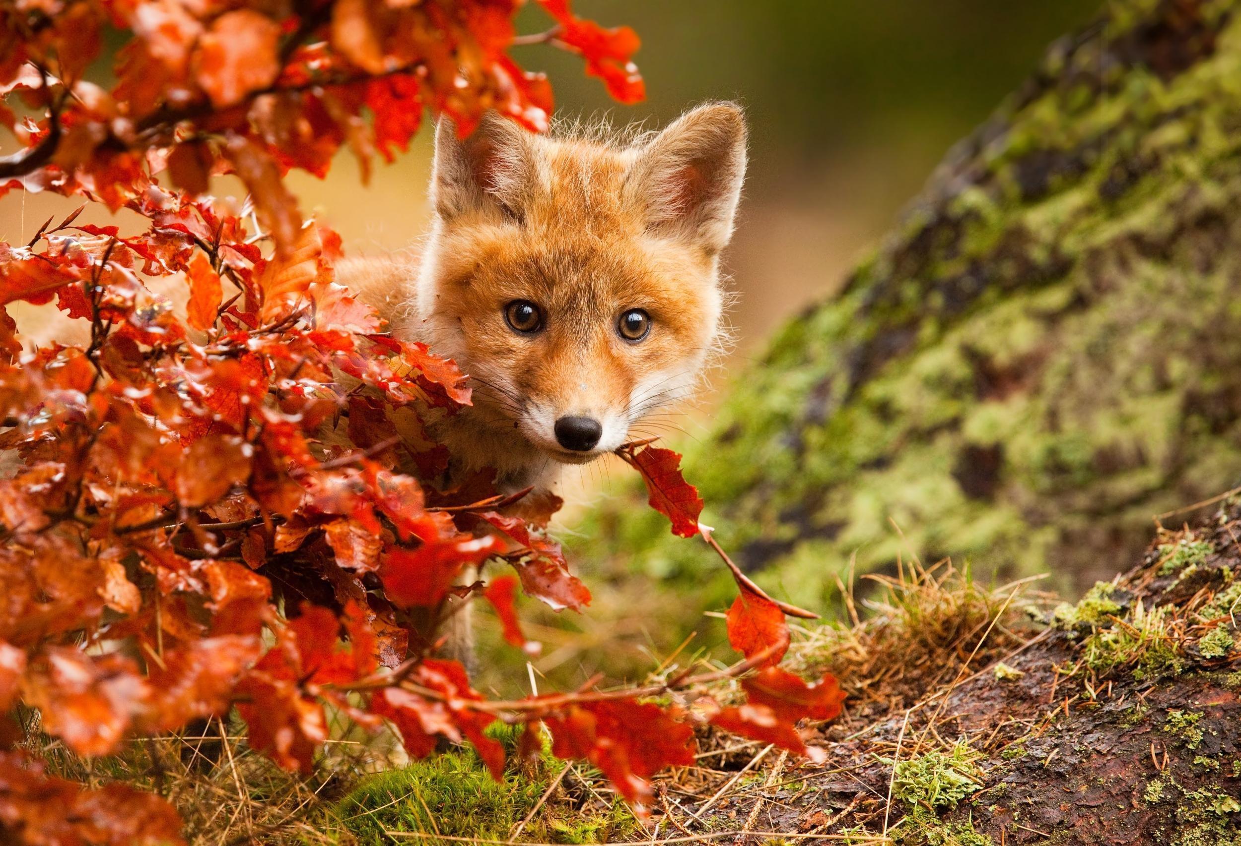 Res: 2500x1706, Animal - Fox Stare Wildlife Baby Animal Cub Fall Cute Wallpaper
