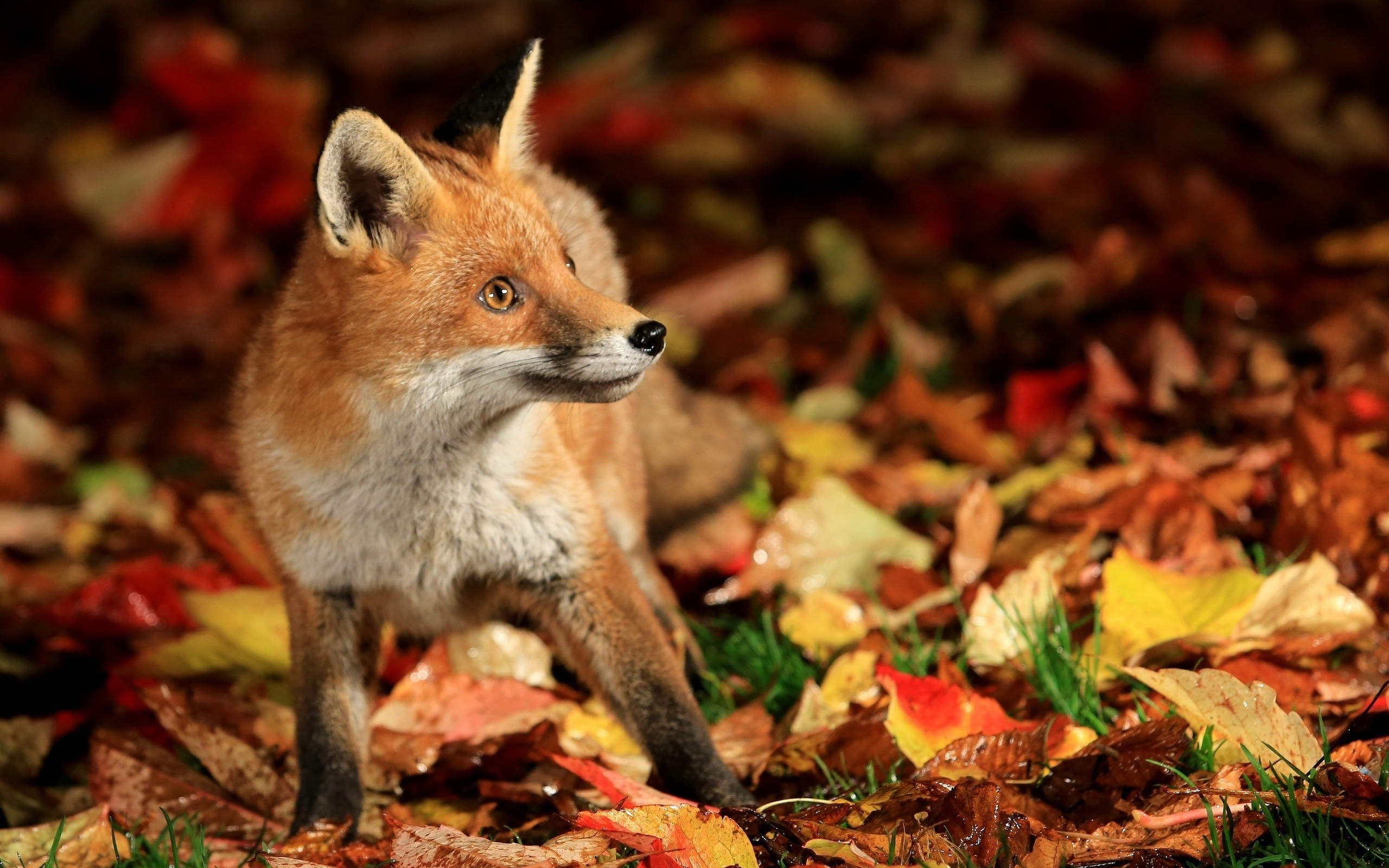 Res: 2560x1600, fox, Animals, Fall, Nature, Leaves Wallpapers HD / Desktop and Mobile  Backgrounds