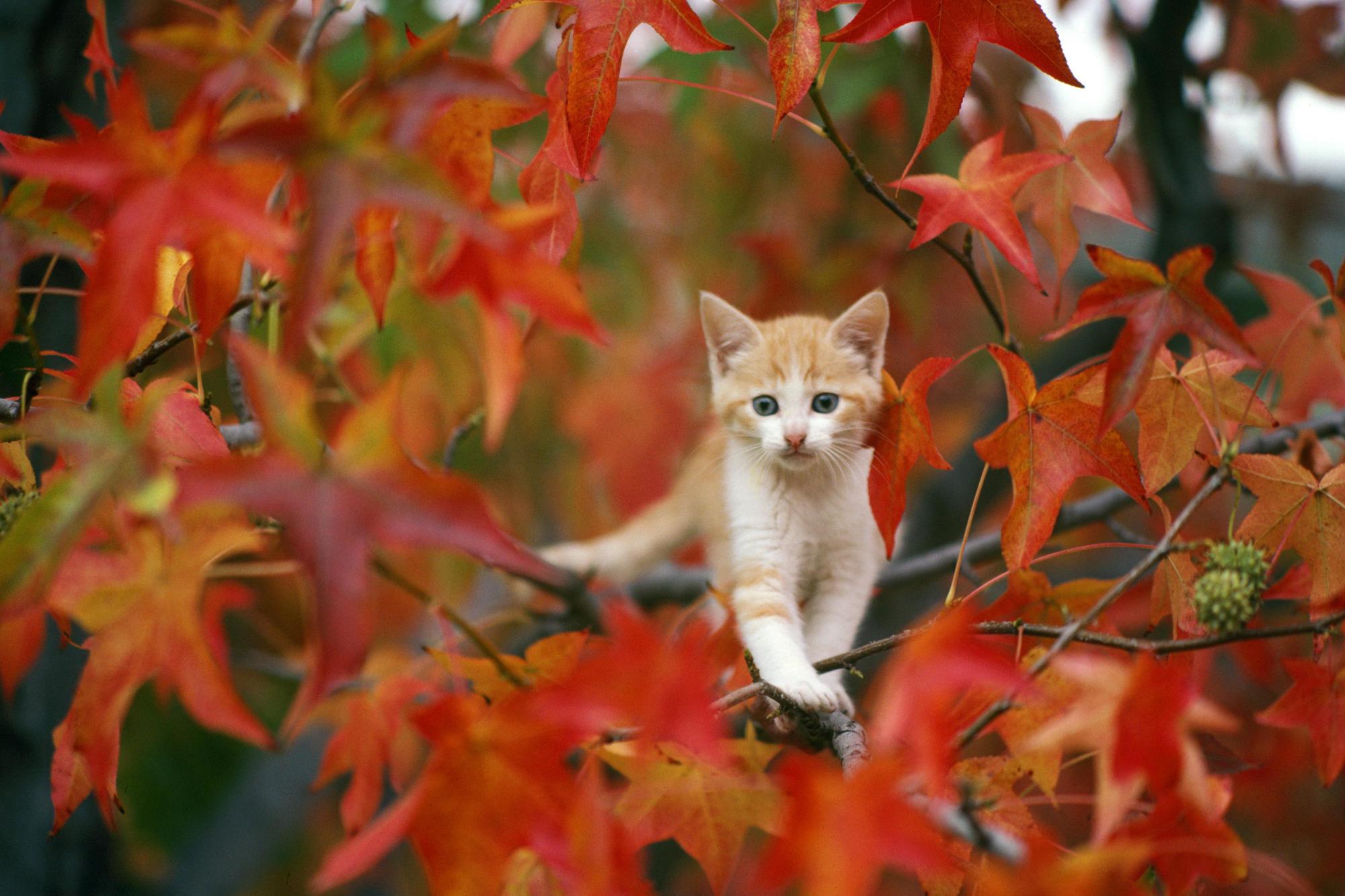 Res: 2000x1333, Animal - Cat Baby Animal Leaf Fall Kitten Wallpaper