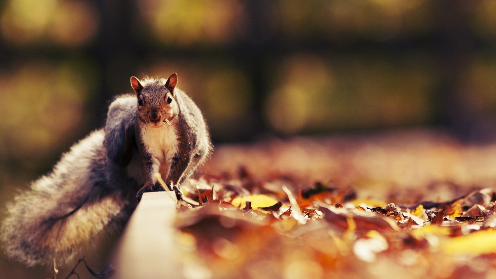 Res: 1920x1080, Squirrel Wallpapers