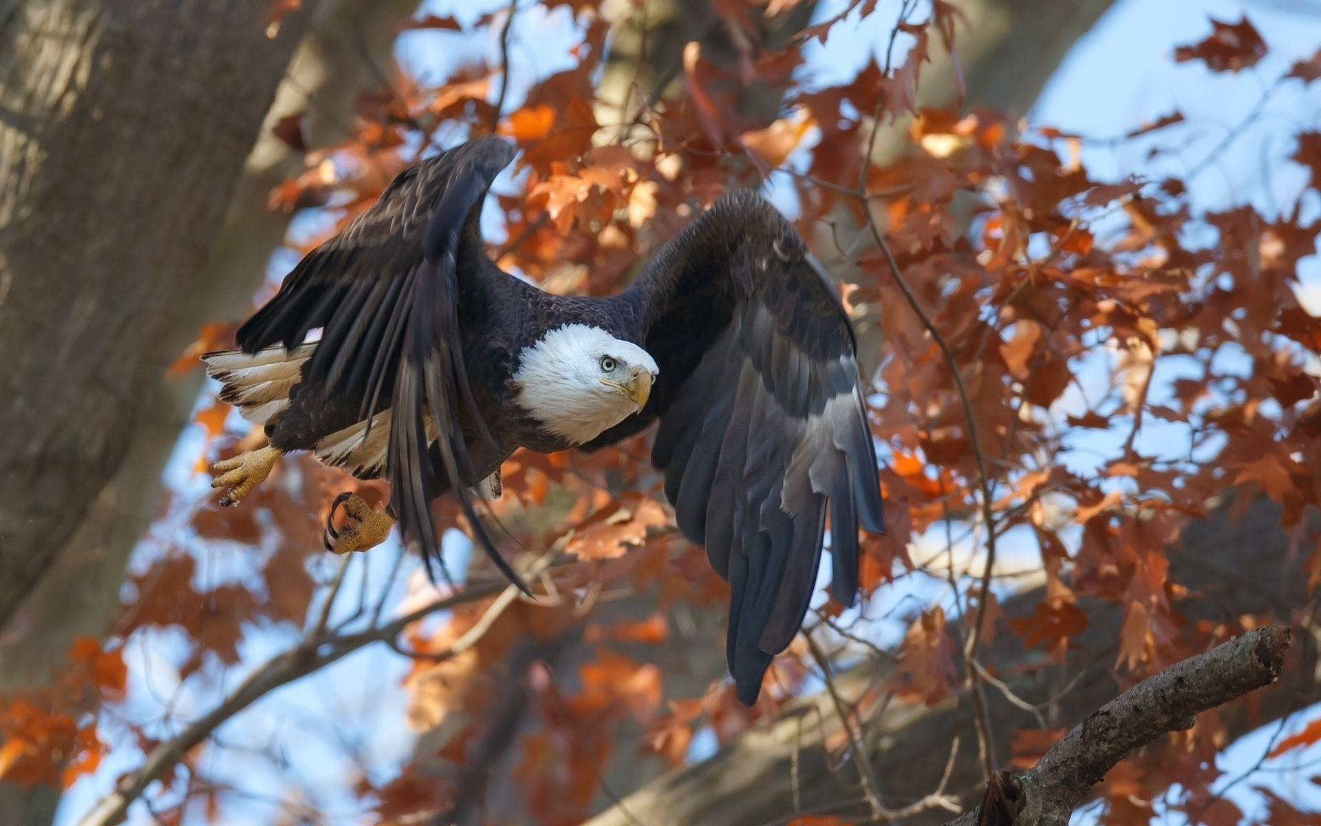 Res: 1920x1200, animals, Birds, Eagle, Fall, Flying Wallpapers HD / Desktop and Mobile  Backgrounds