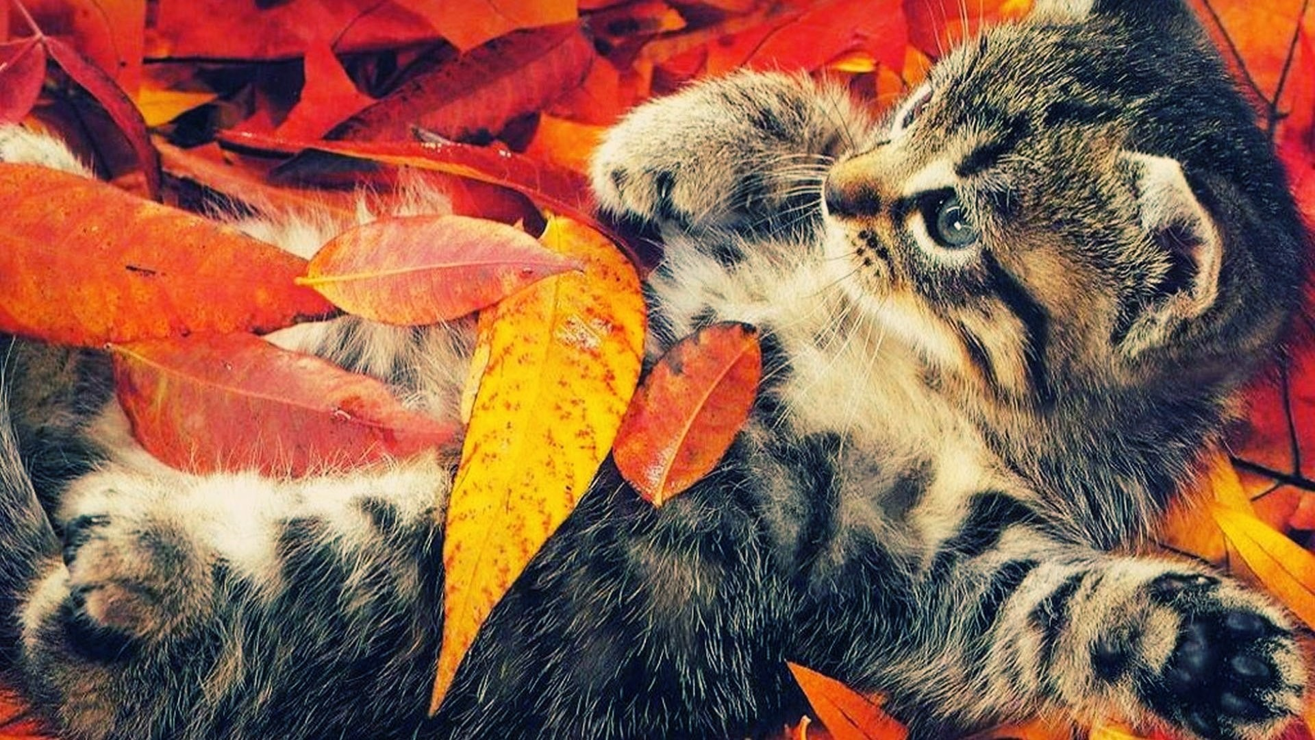 Res: 1920x1080, ... fall-wallpapers-cat ...