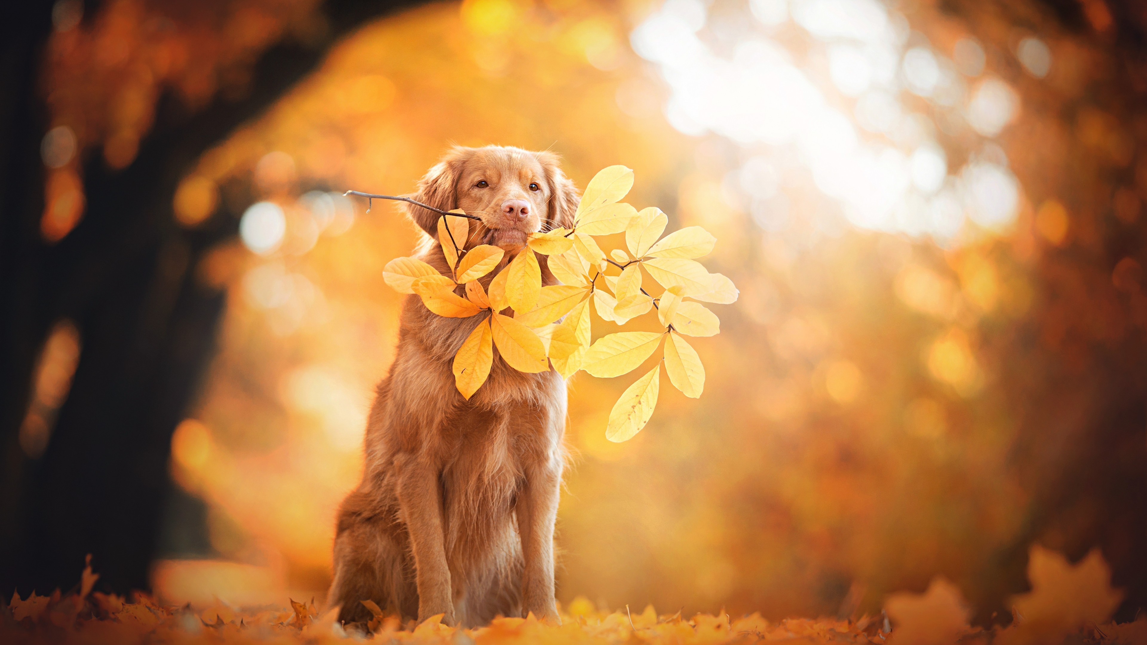 Res: 3840x2160, Animals / Golden Retriever Wallpaper