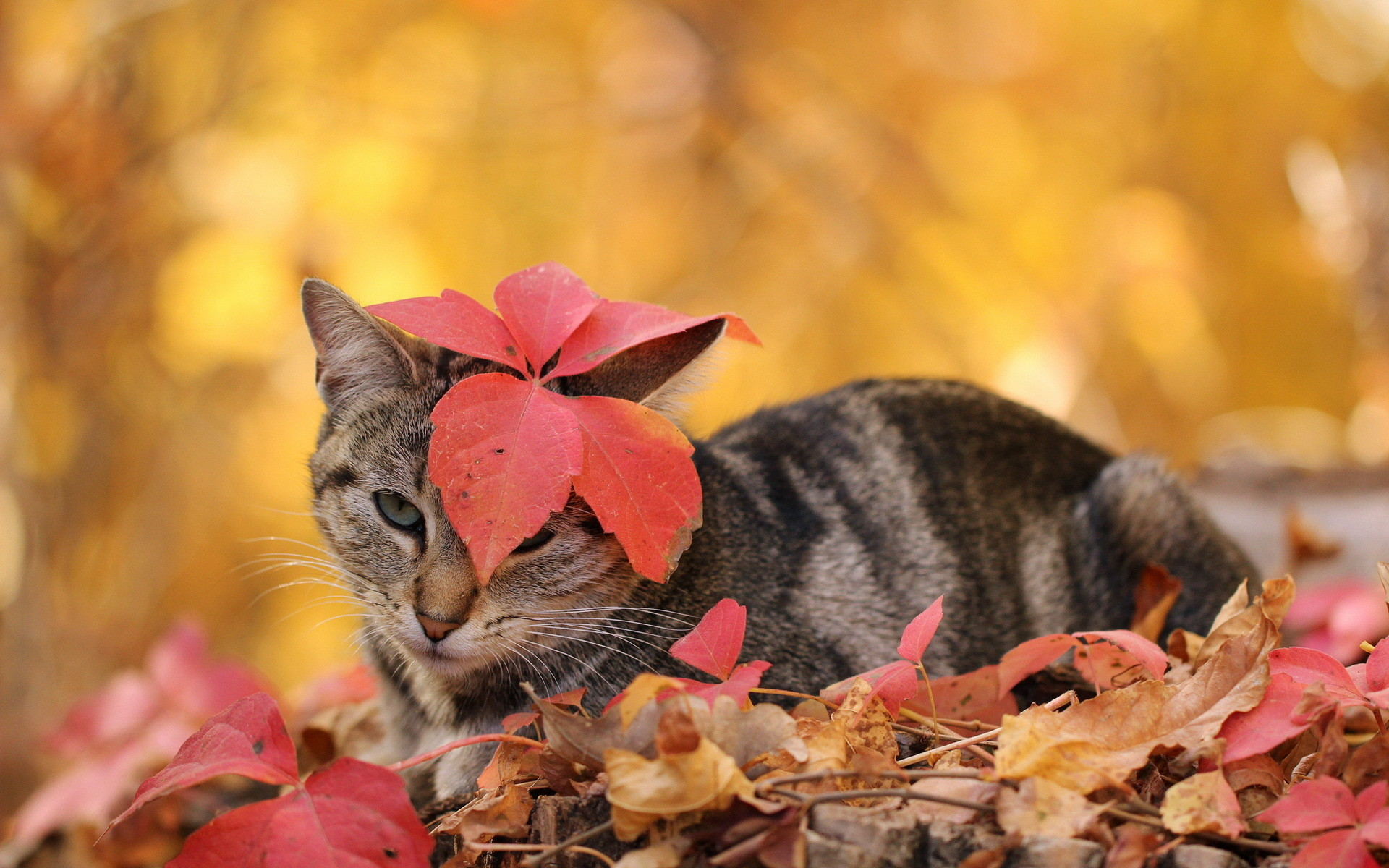 Res: 1920x1200, Wallpapers Cats Leaf Autumn Animals  Foliage