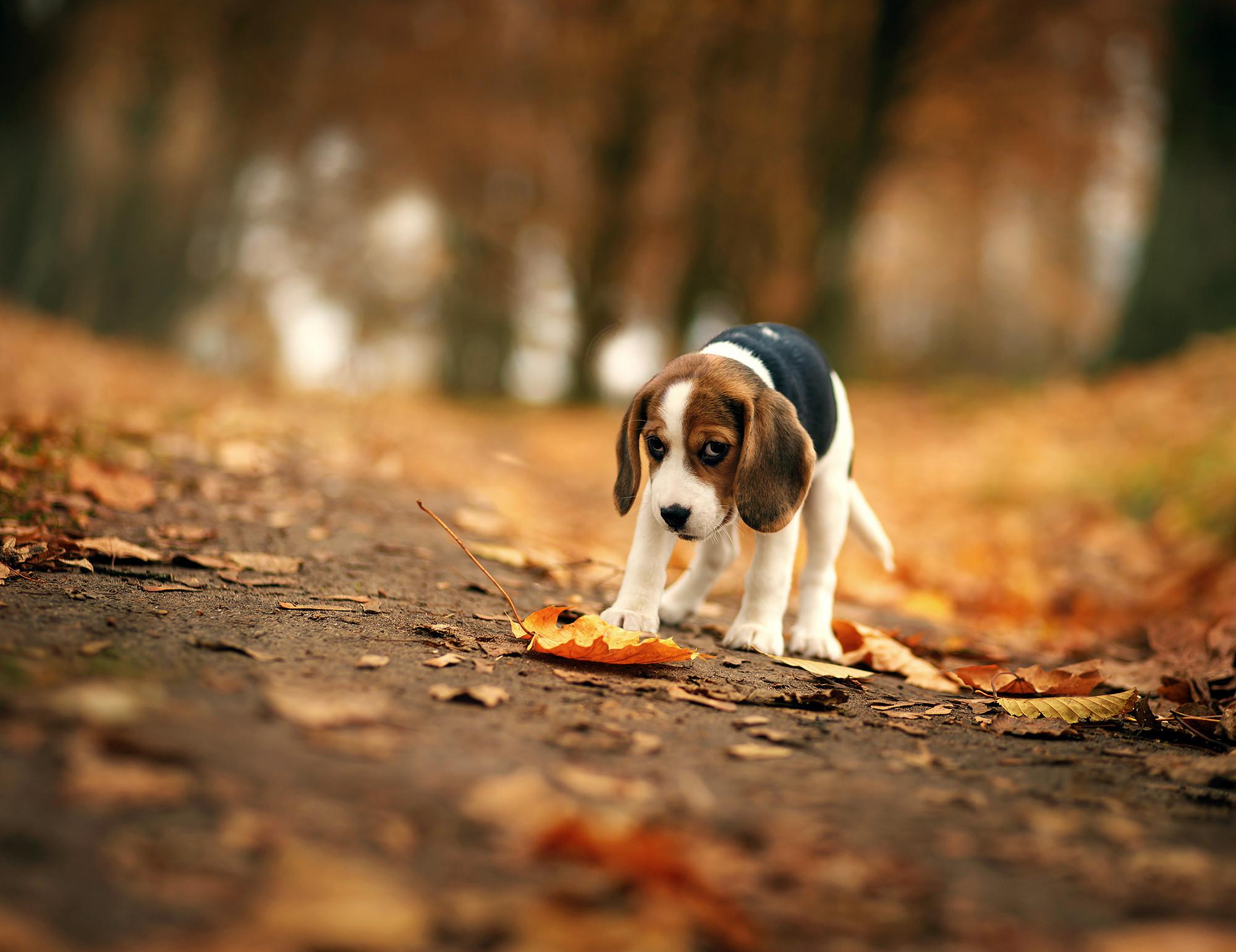 Res: 2000x1541, Animal - Beagle Dog Fall Sad Bokeh Leaf Puppy Blur Wallpaper