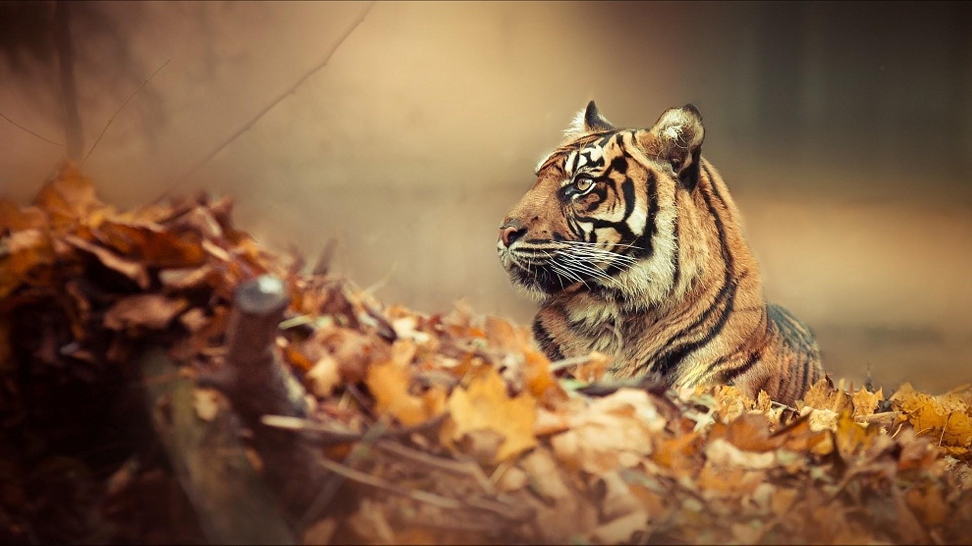 Res: 1920x1080, Tiger Autumn Animals HD Wallpaper Wallpaper