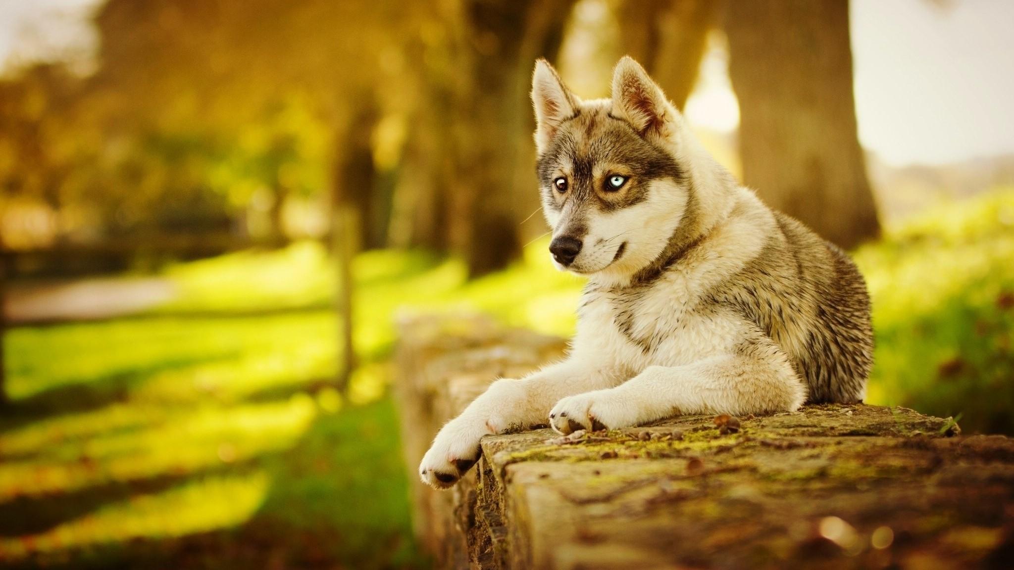 Res: 2048x1152, Husky Dog Fall
