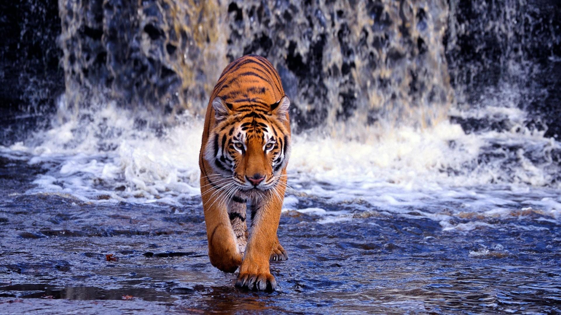 Res: 1920x1080, tiger running waterfall wallpaper animals animal fall animal wallpaper free  hd for android iphone ipad pictures desktop