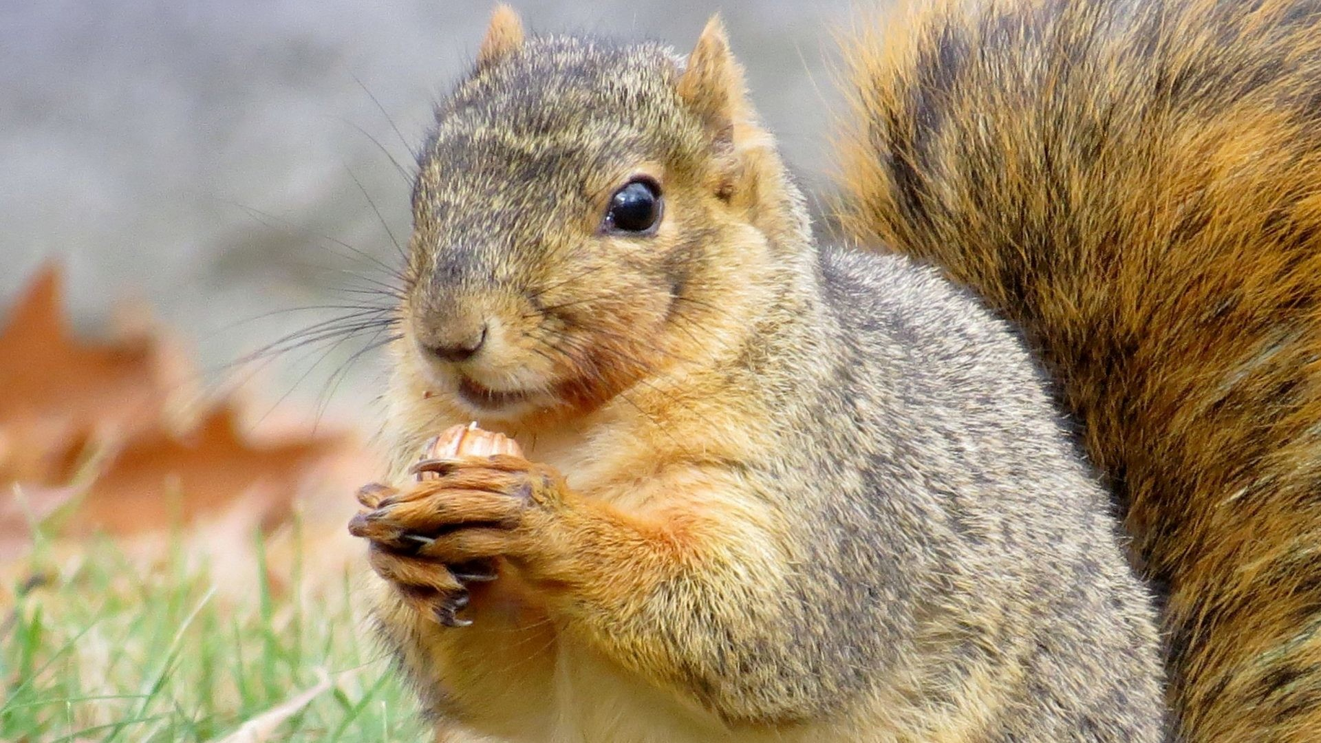 Res: 1920x1080, Squirrel Tag - Animal Fall Packing Leaf Squirrel Away Nut Autumn Nature  Image for HD 16