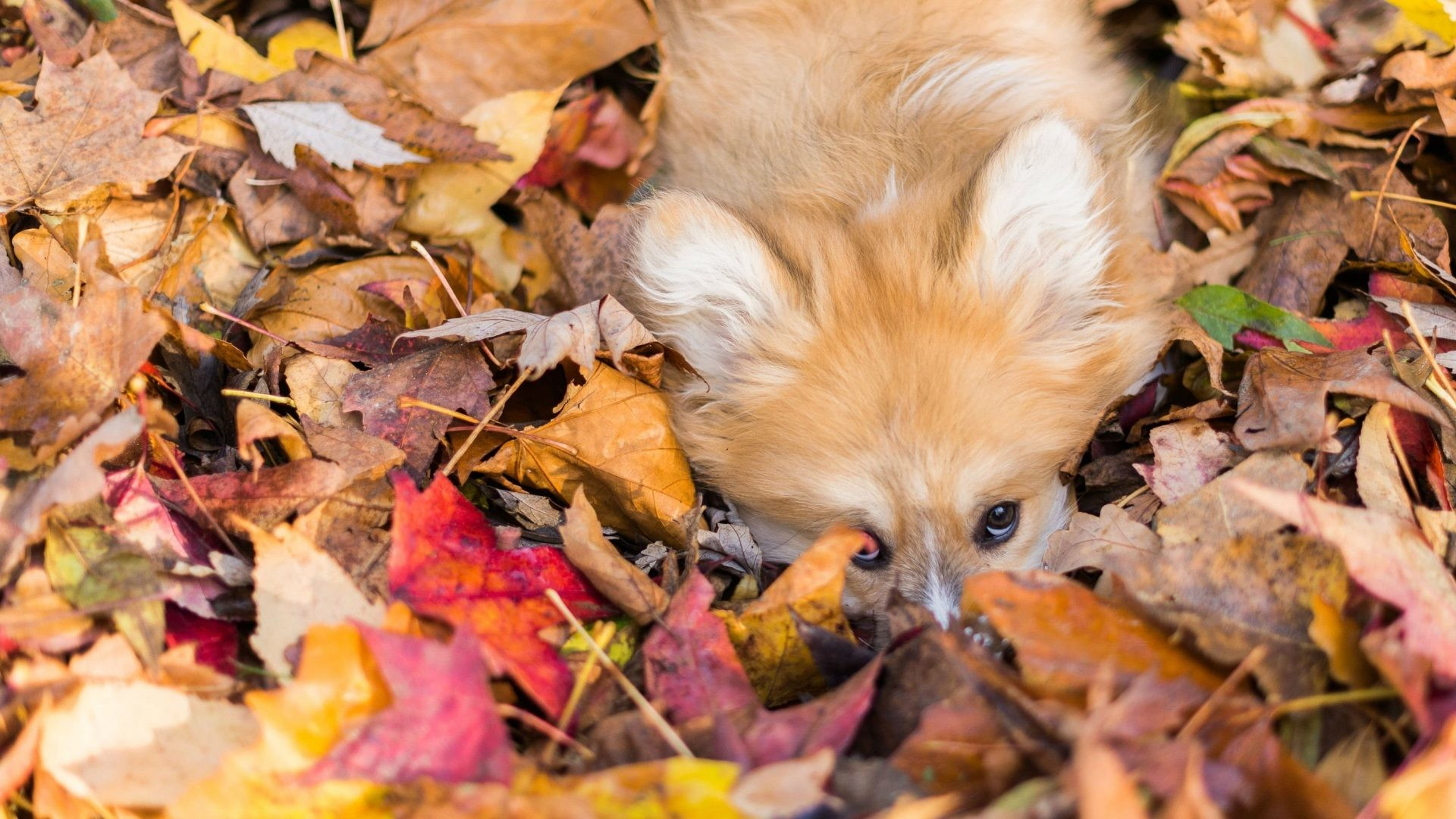 Res: 1920x1080, Forest Leaves Landscape Tree Nature Autumn Fall Free Desktop Dog Wallpaper
