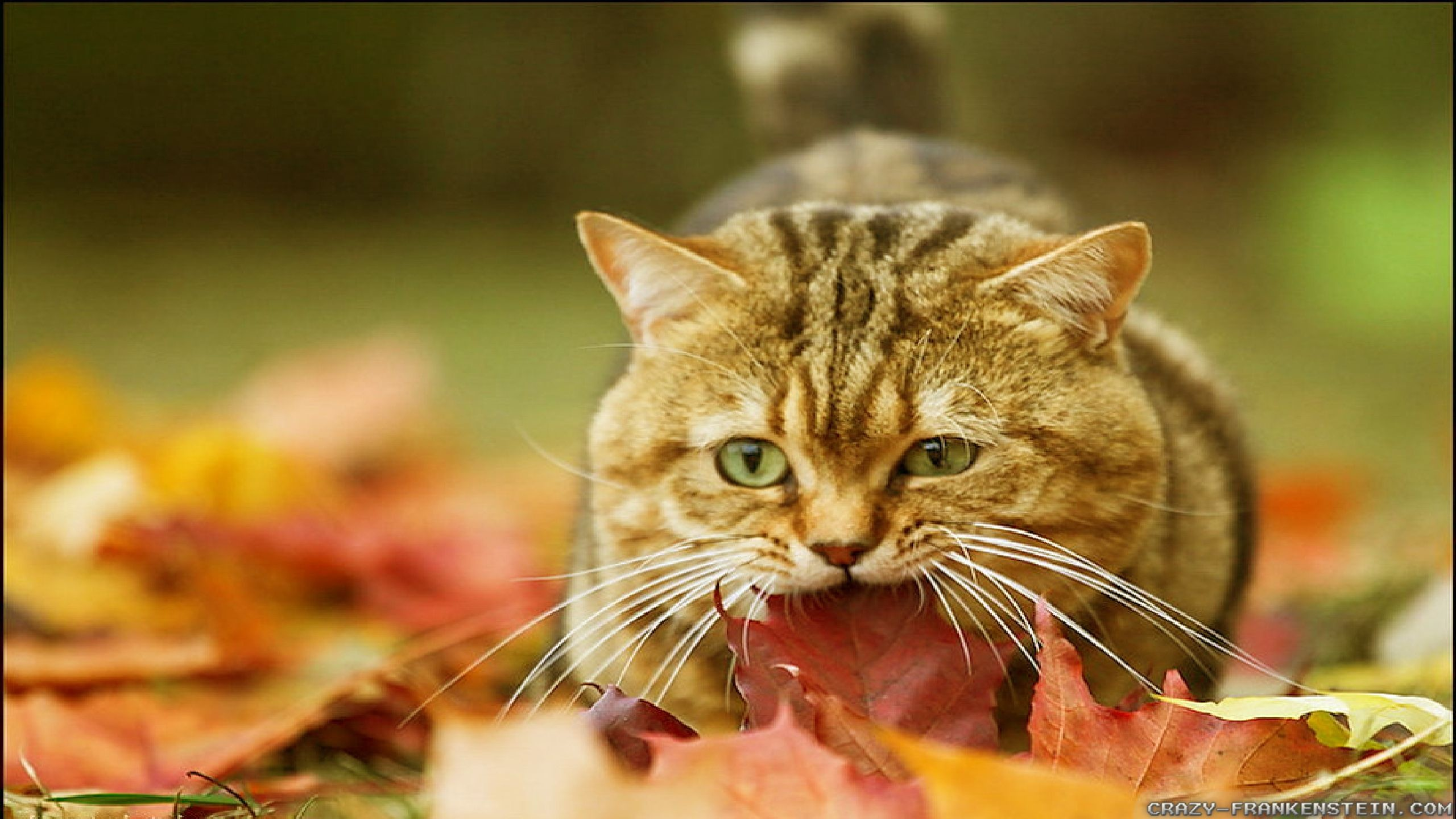 Res: 2560x1440, Collection of Autumn Cat Wallpaper on HDWallpapers