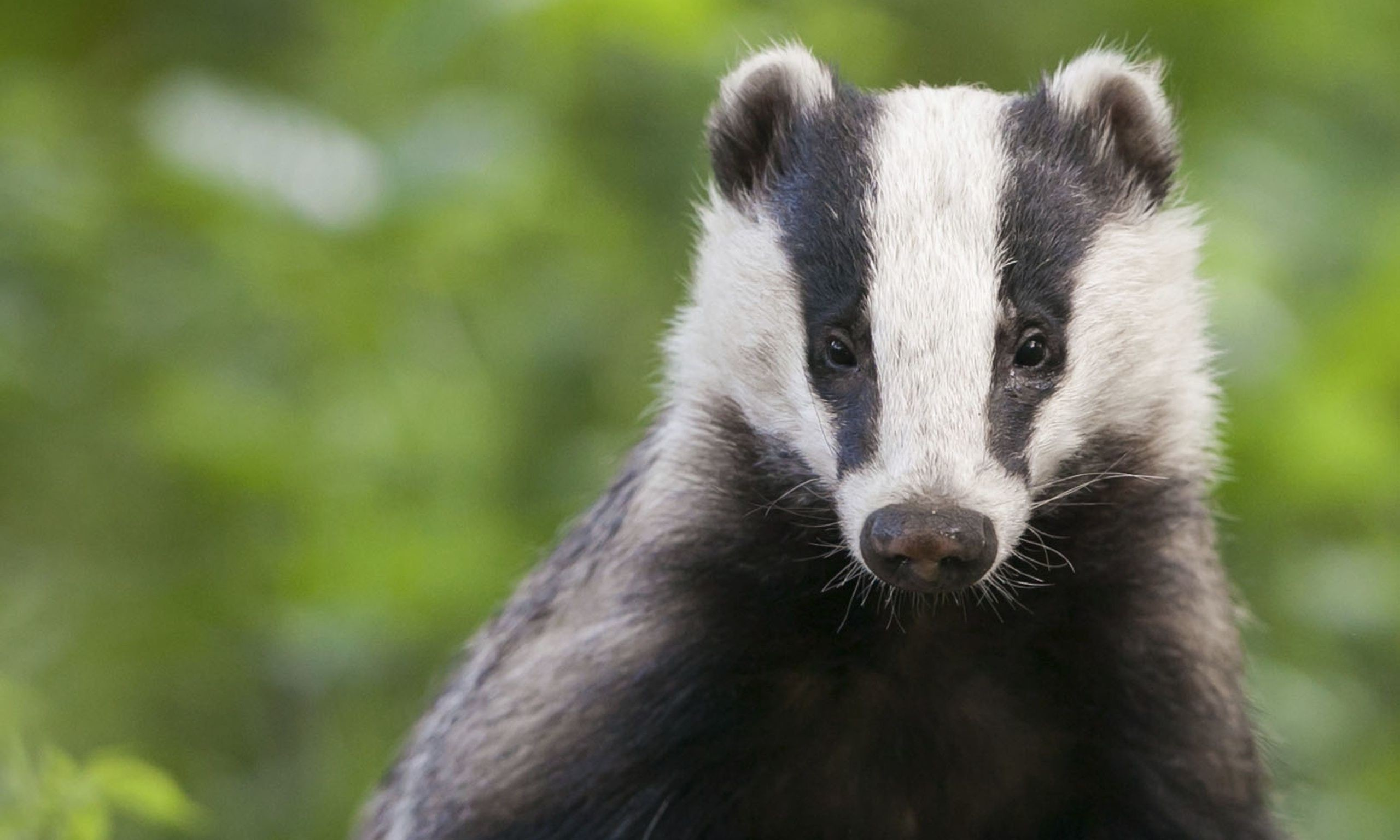 Res: 2560x1536, Badger wallpapers, Animal, HQ Badger pictures   4K Wallpapers