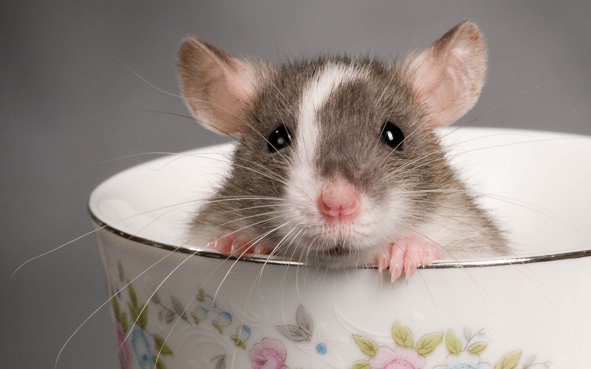 Res: 1920x1200, Rodents Hintergrund entitled ratte