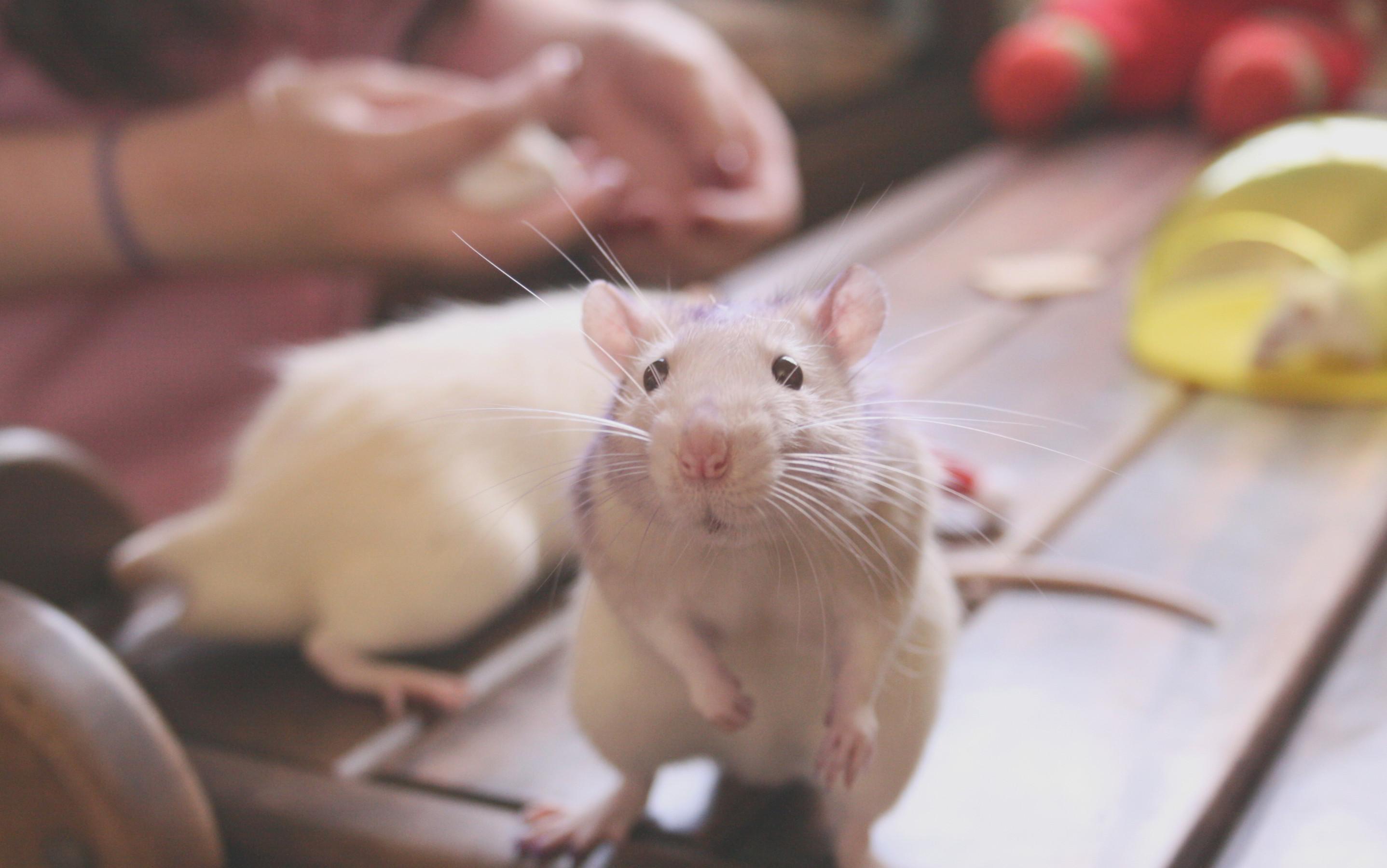 Res: 2875x1800, Rat Cute