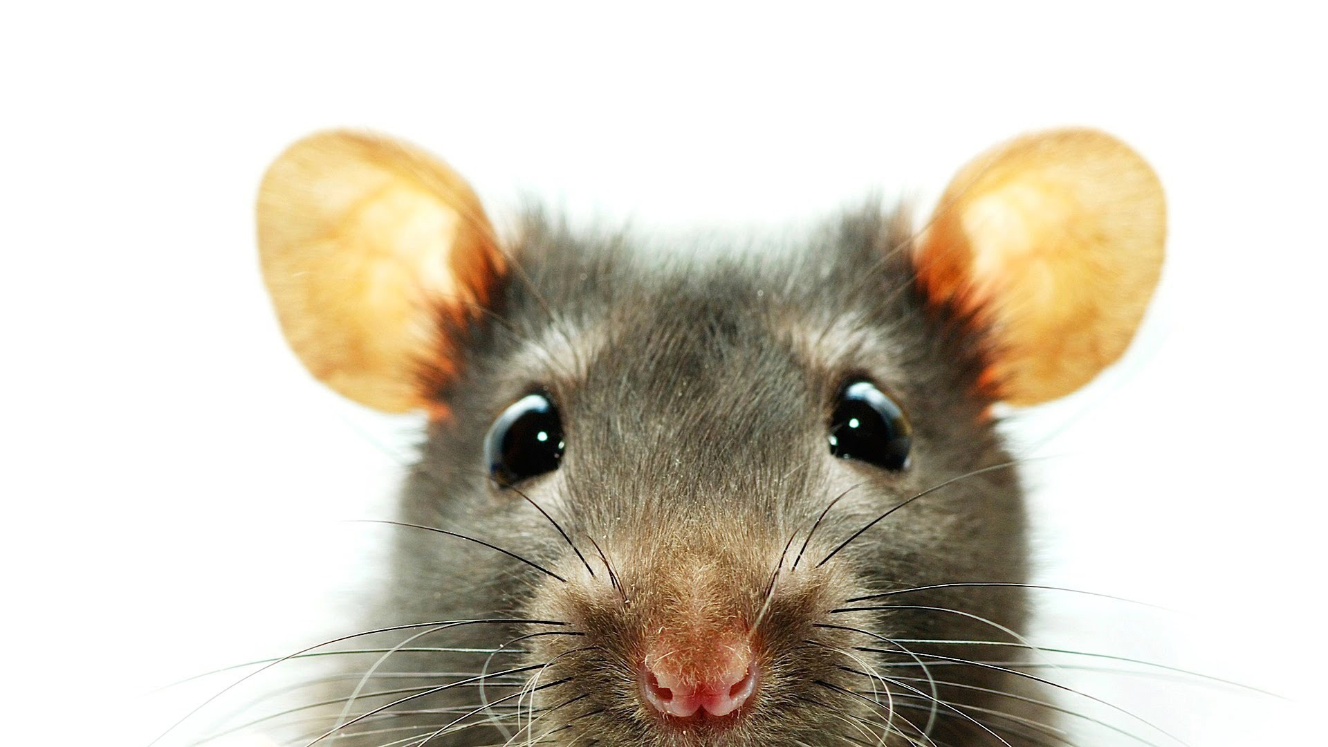 Res: 1920x1080, rats