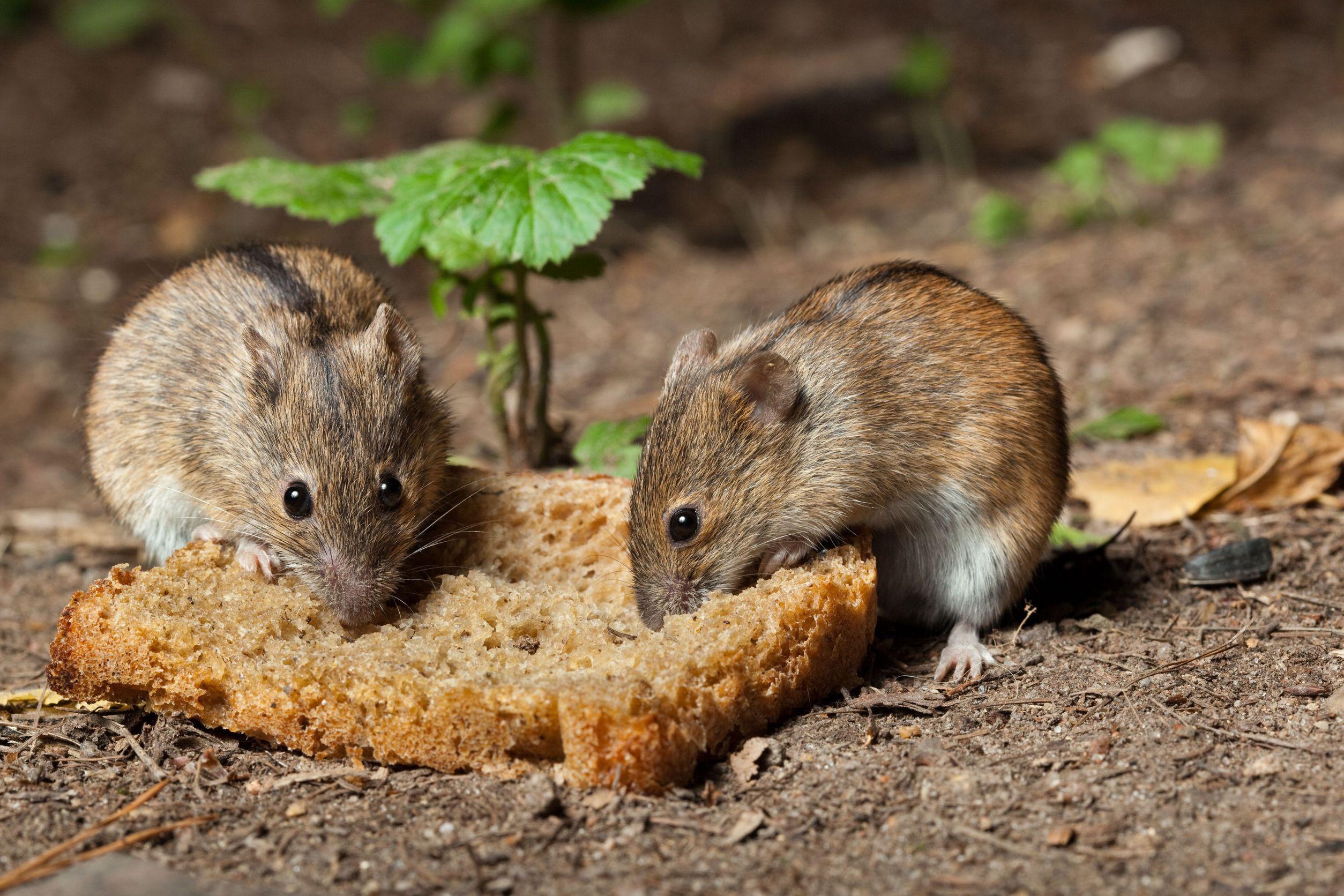 Res: 2508x1672, Animal - Rat Wallpaper
