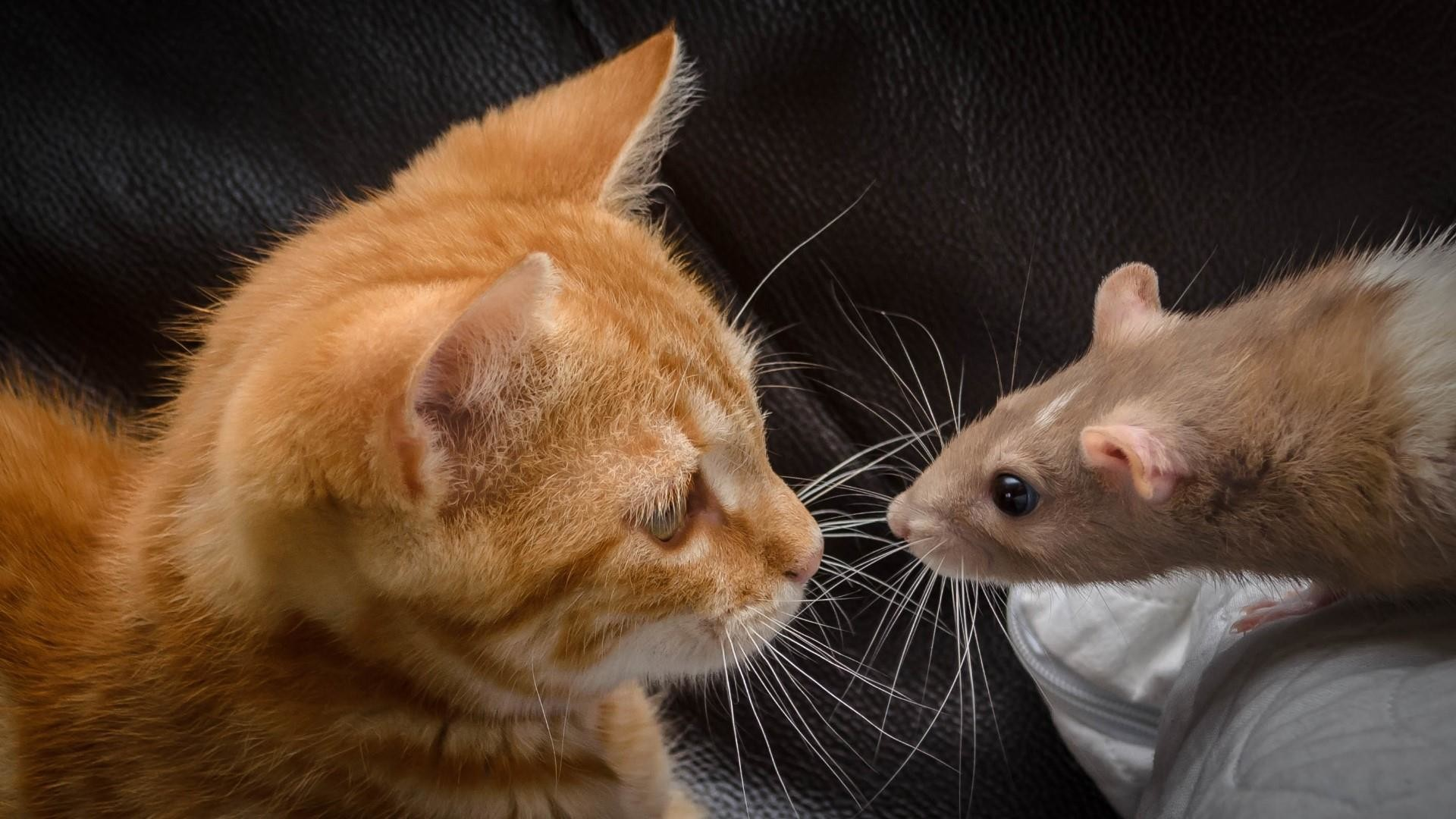 Res: 1920x1080, Funny Rat And Cat Wallpaper   Wallpaper Studio 10   Tens of thousands HD  and UltraHD wallpapers for Android, Windows and Xbox
