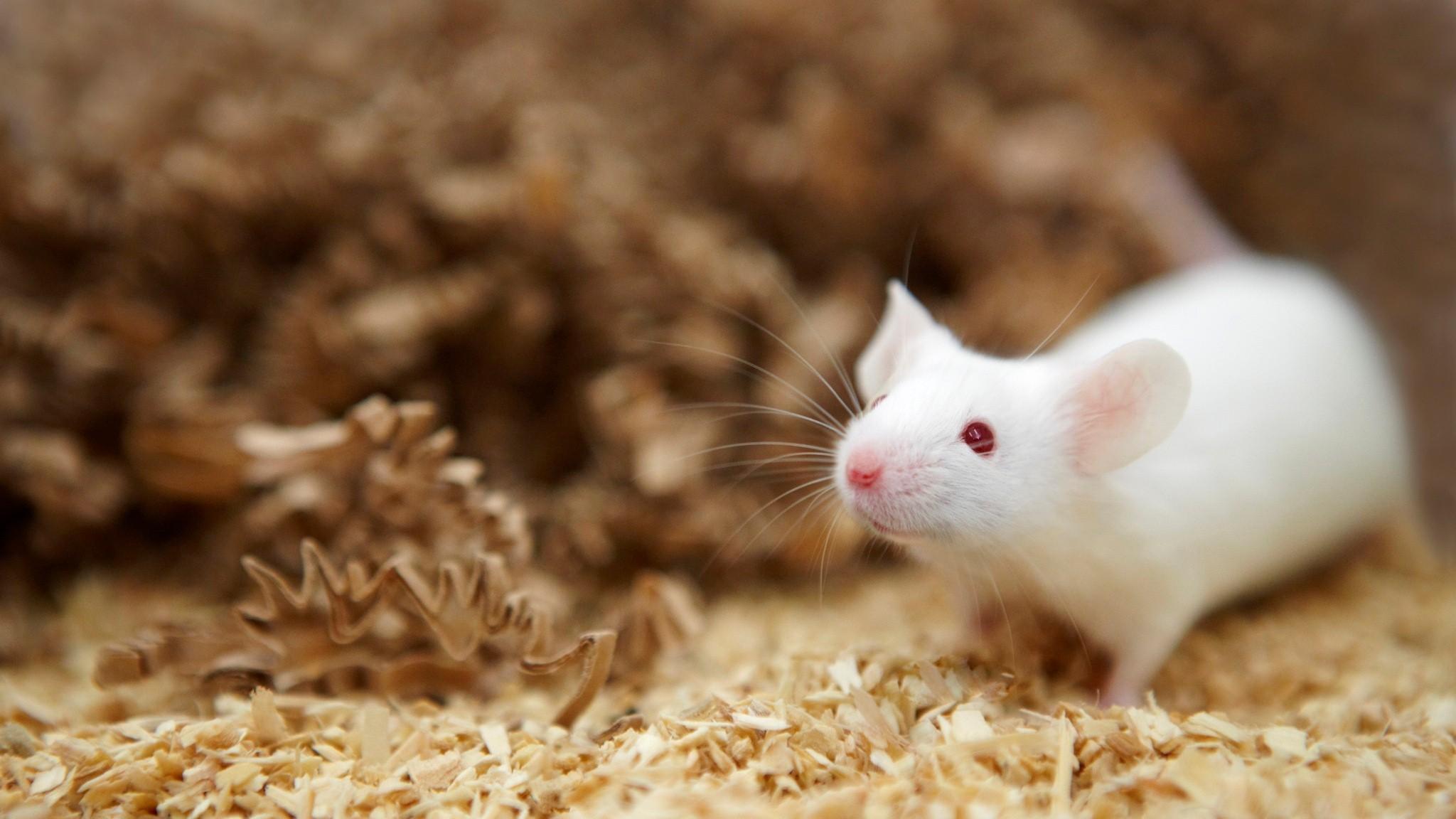 Res: 2048x1152, White Rat HD Wallpaper. Â«Â«