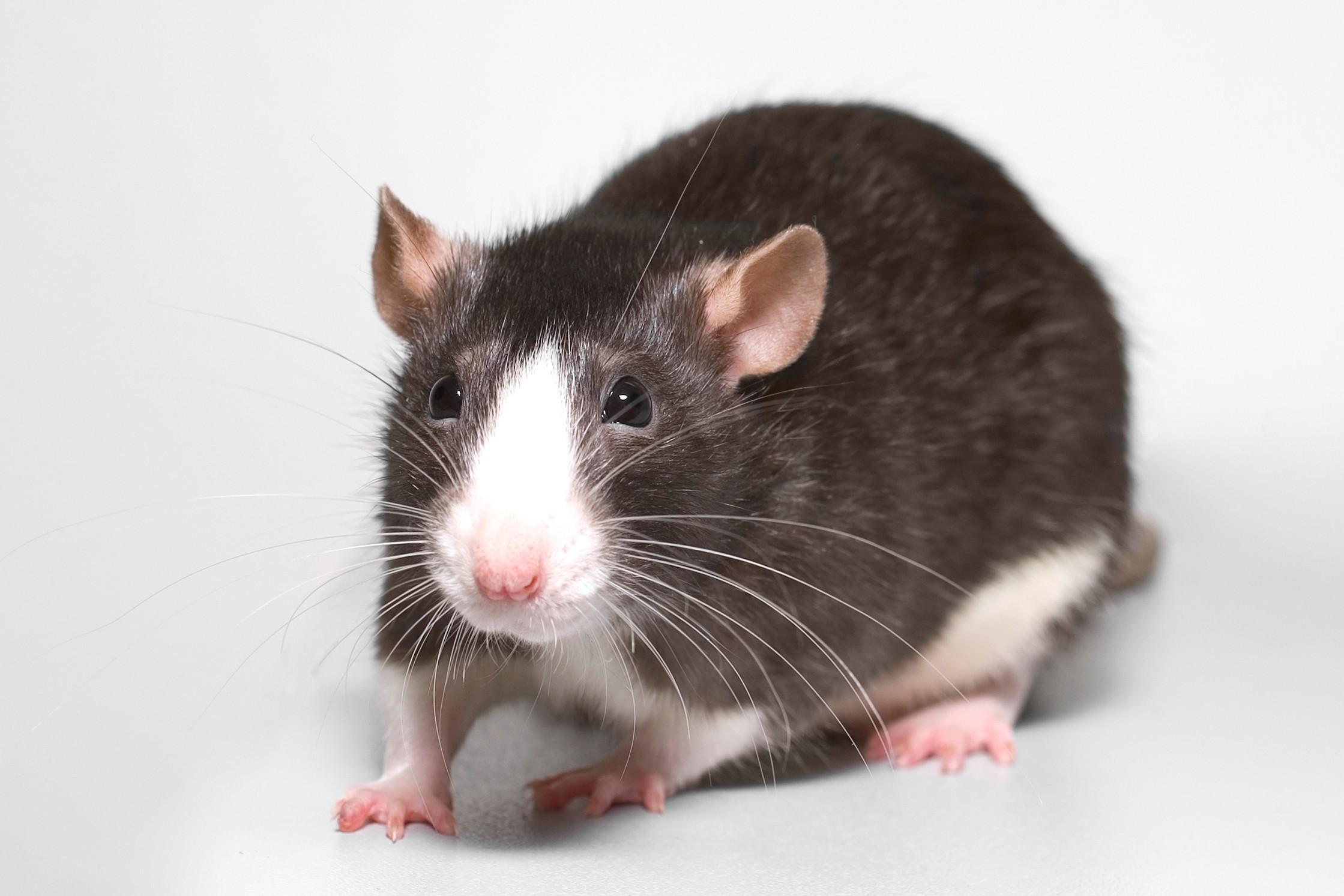 Res: 2239x1493, Rat Computer Wallpaper