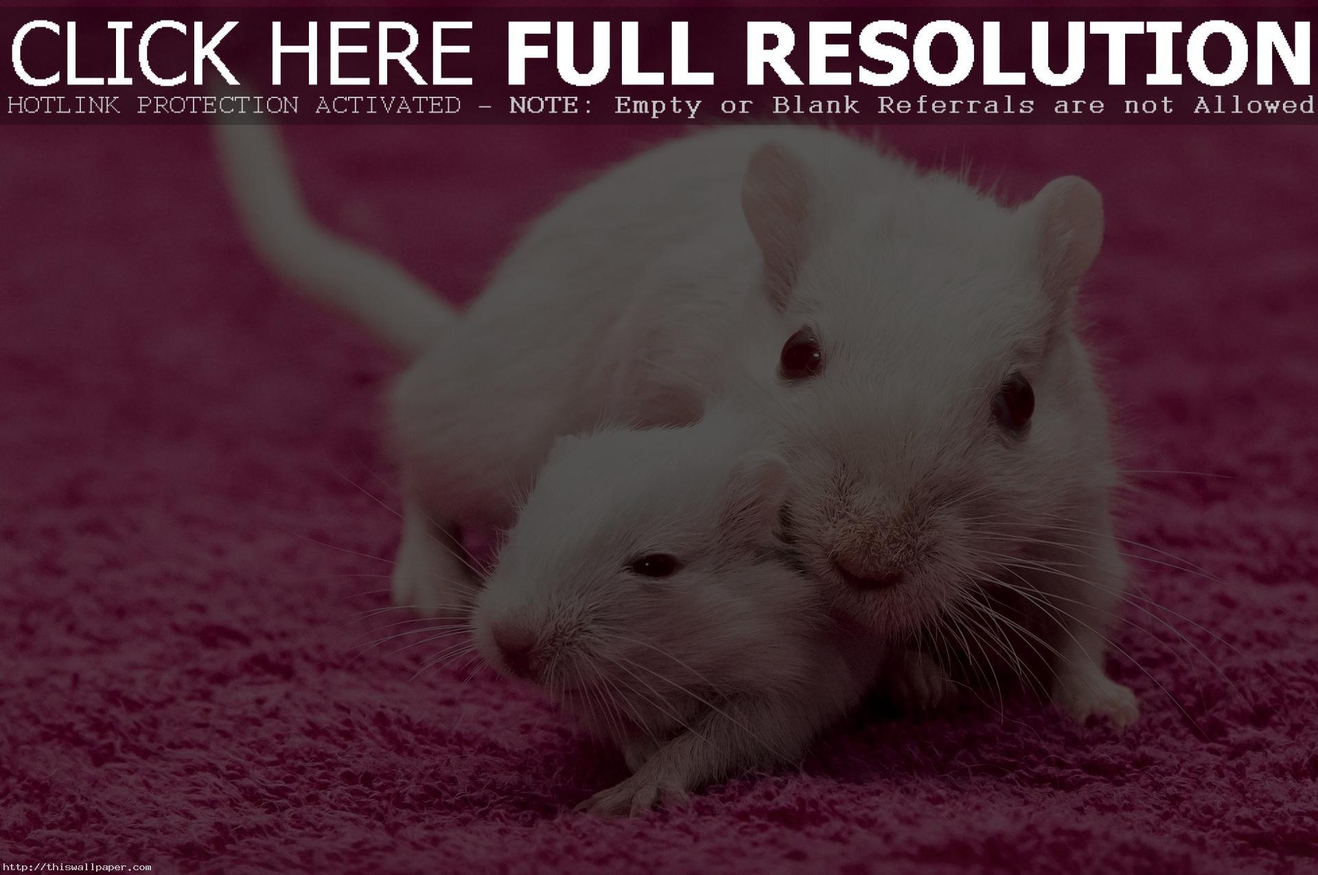 Res: 1920x1275, rat wallpaper #446486