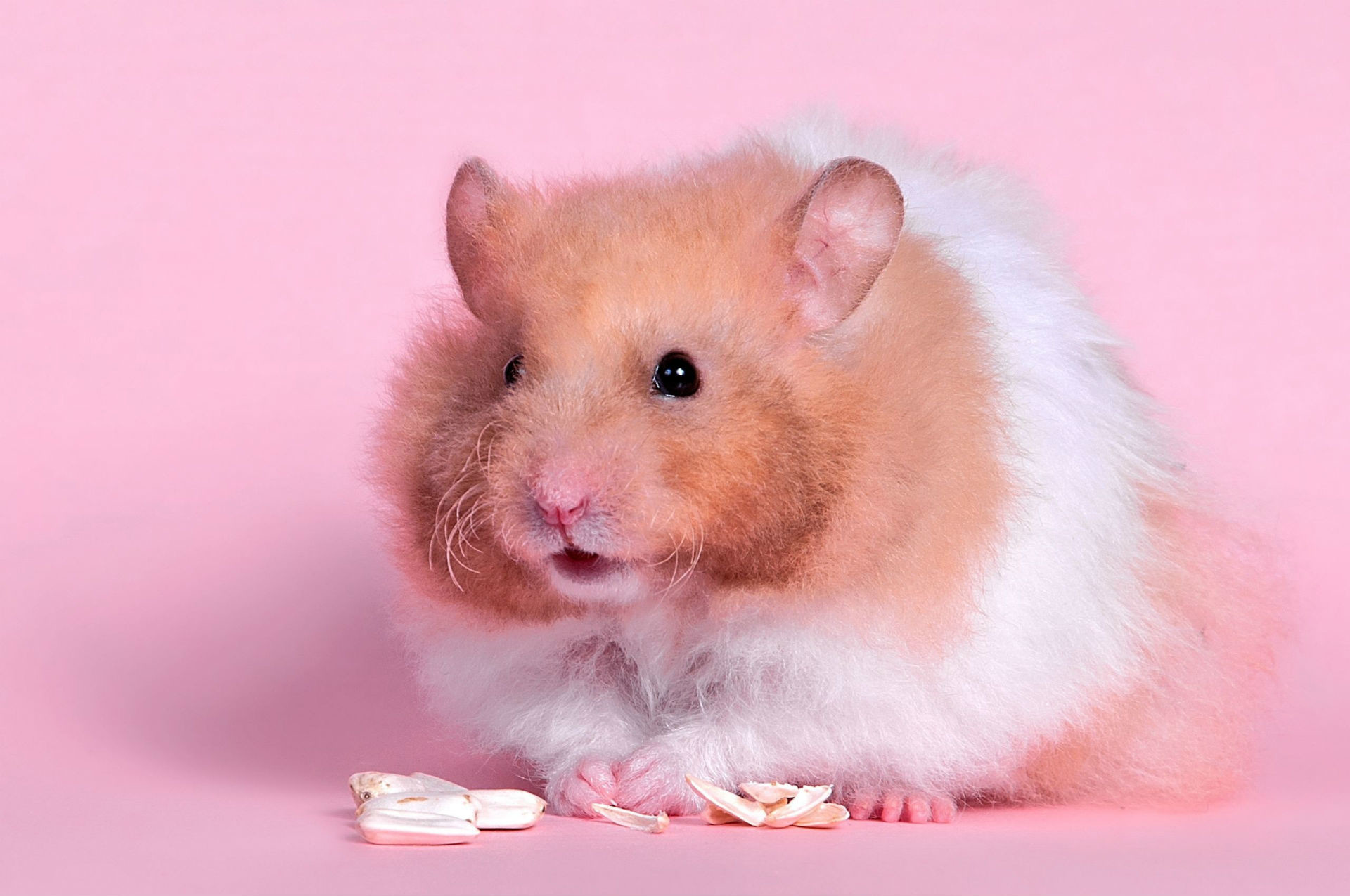 Res: 1920x1275, Funny Hamster Wallpapers 1920×1200 Cute Hamster Wallpapers (44 Wallpapers)    Adorable Wallpapers