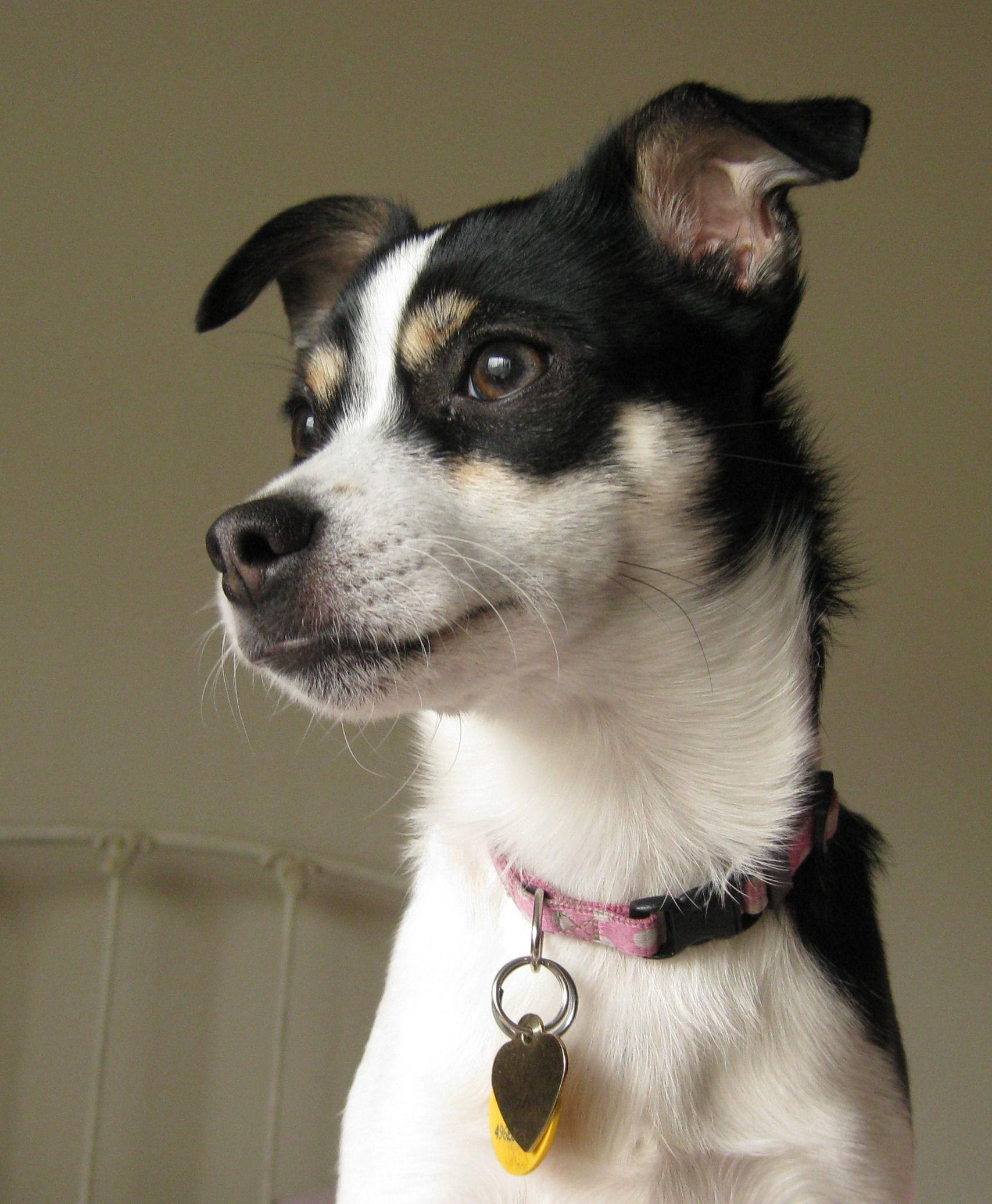 Res: 1707x2072, Rat Terrier dog face photo