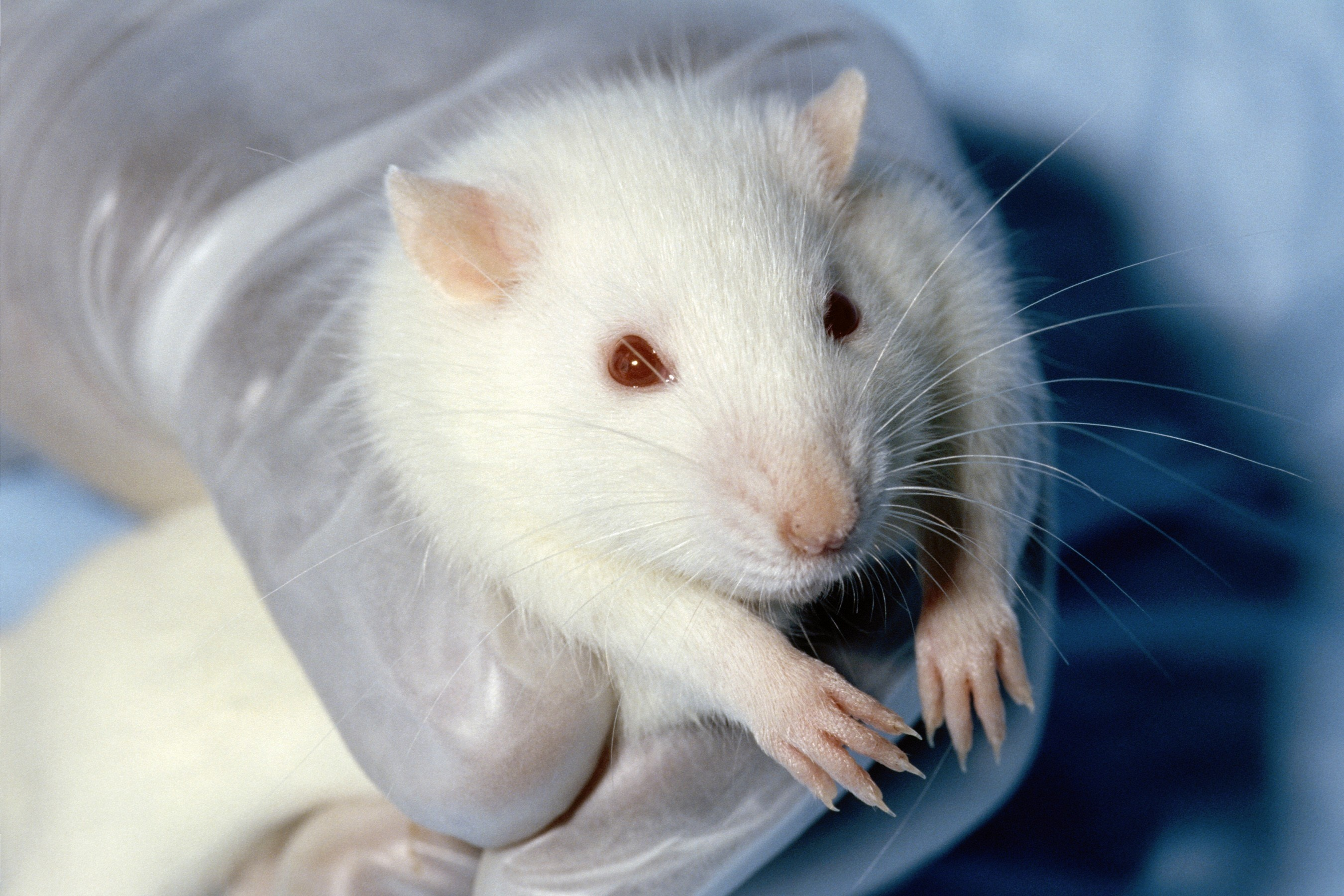 Res: 2700x1800, white animals hands red eyes rats albino  wallpaper Art HD  Wallpaper