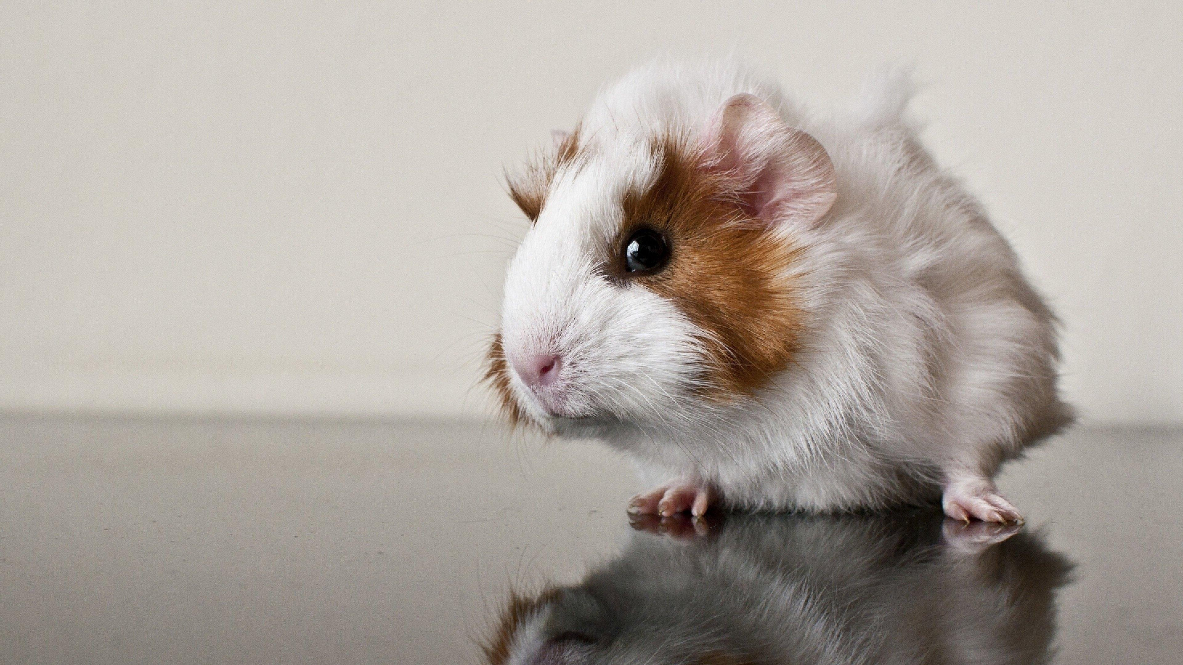 Res: 3840x2160, 4K UHD 16:9 Guinea pig, Hamster, Rat Wallpaper : Animals Wallpaper for  Phone & Desktop Backgrounds Collections