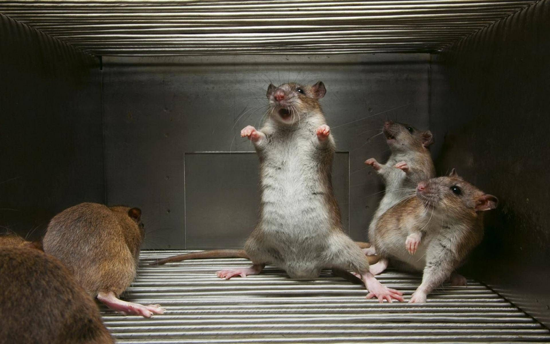 Res: 1920x1200, Studies of laughing chimpanzees and rats offer clues about our evolutionary  past—as well as our mental health.