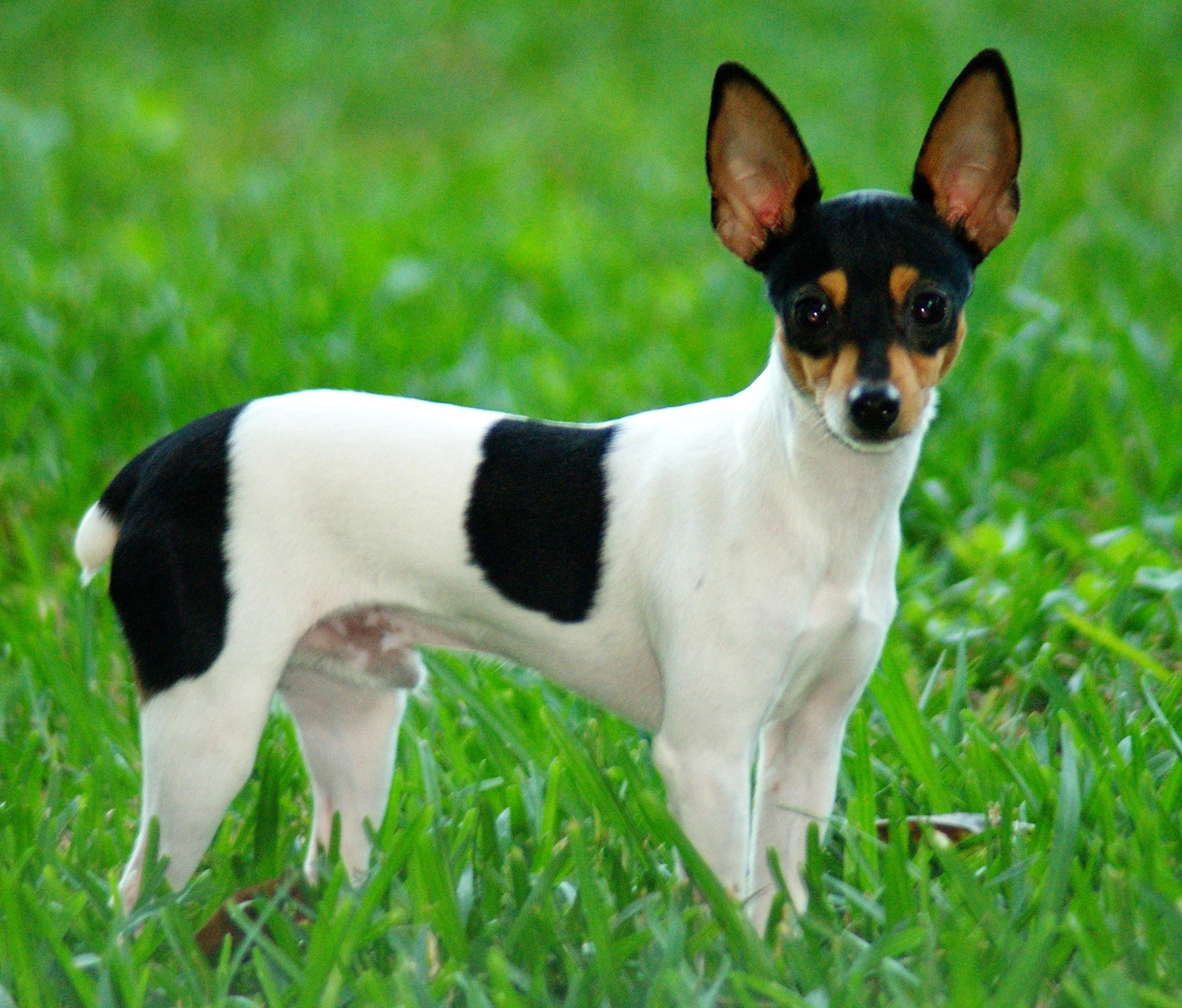 Res: 2136x1822, Rat Terrier wallpapers hd