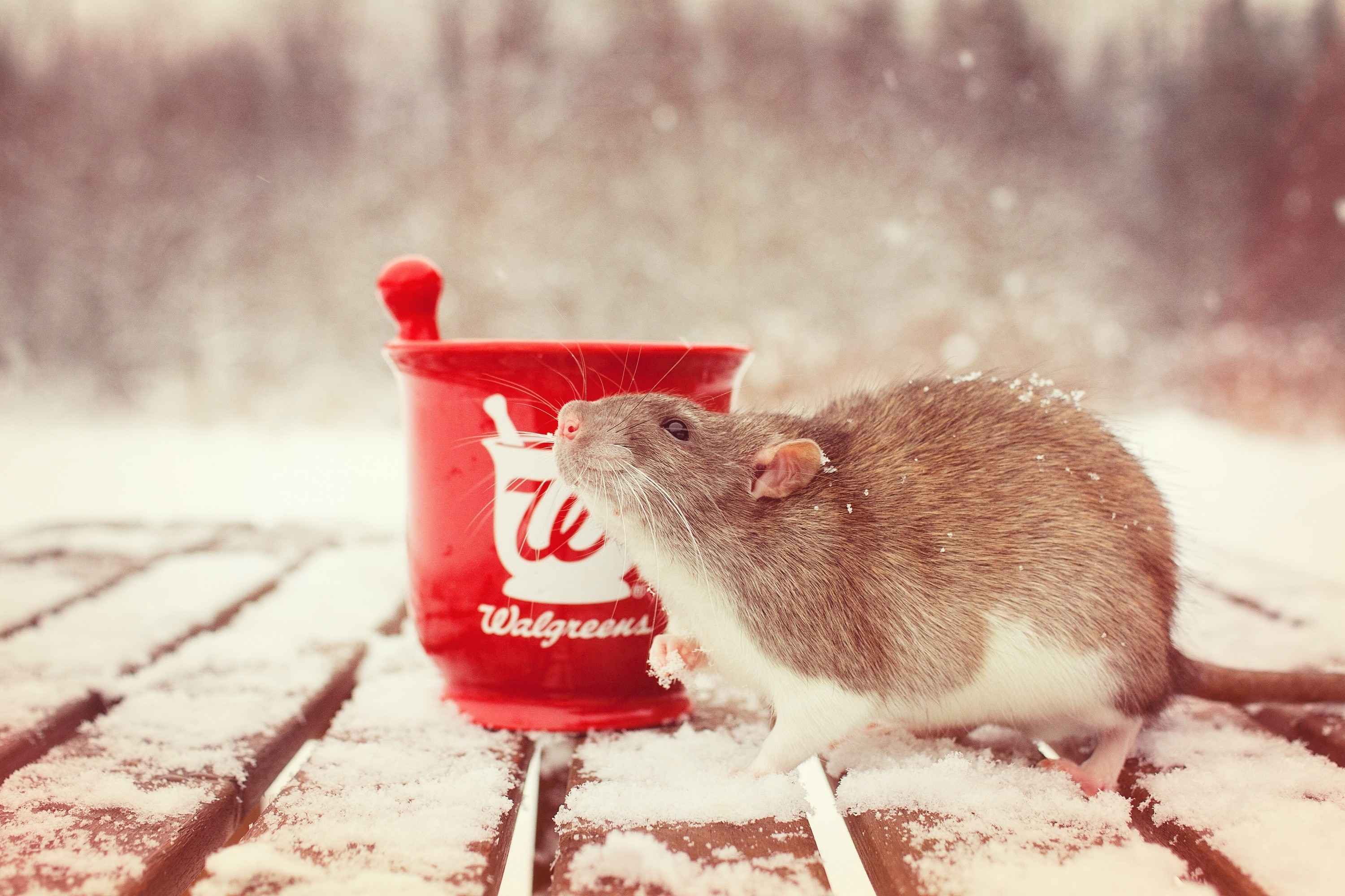 Res: 3000x2000, nature, snow,rat 4k, free animal pictures, rodent,hd, mortar, amazing,  winter, wallpaper hd mobile,_ Wallpaper HD