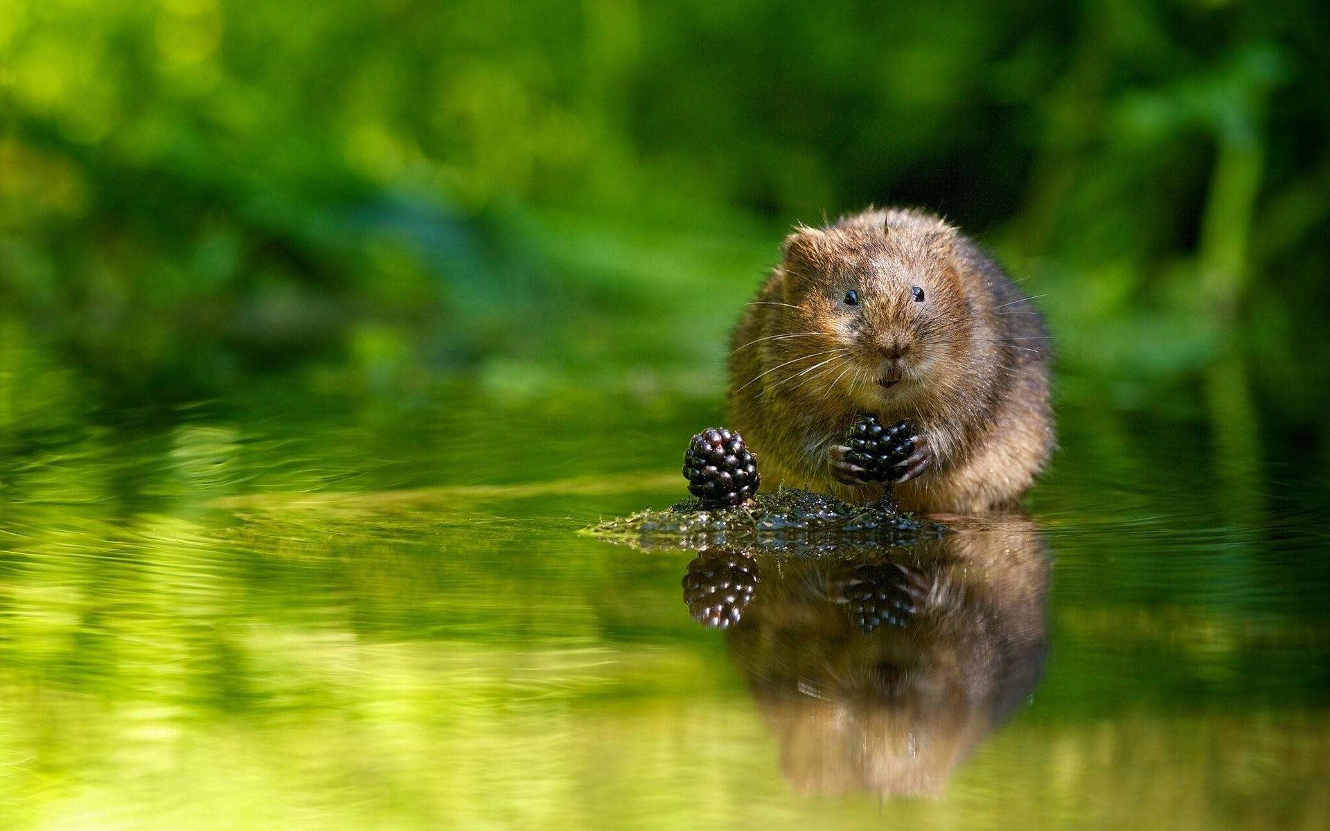 Res: 1920x1200, european water vole water rat berries blackberry water