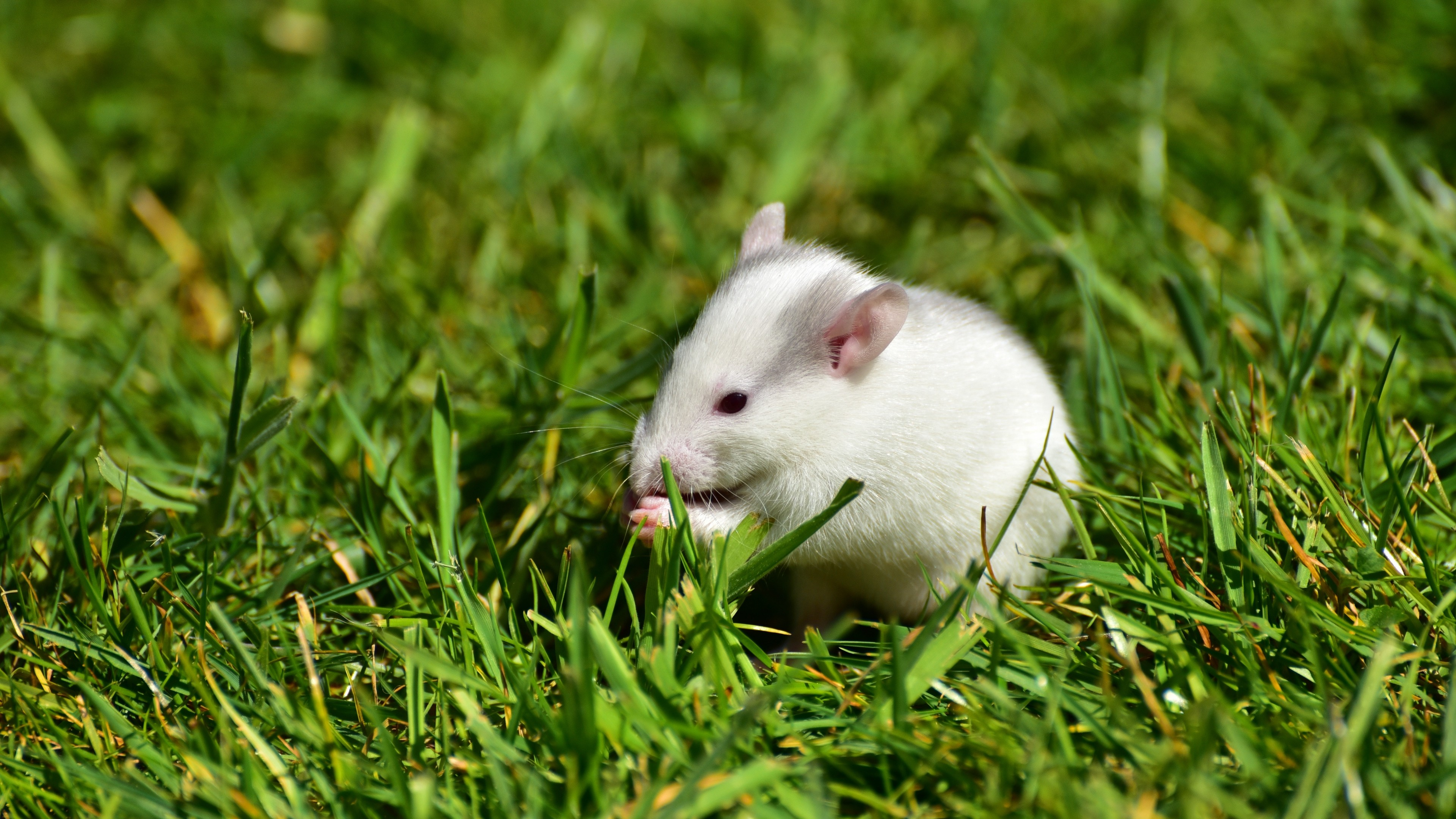 Res: 3840x2160,  Wallpaper rat, grass, walk, rodent