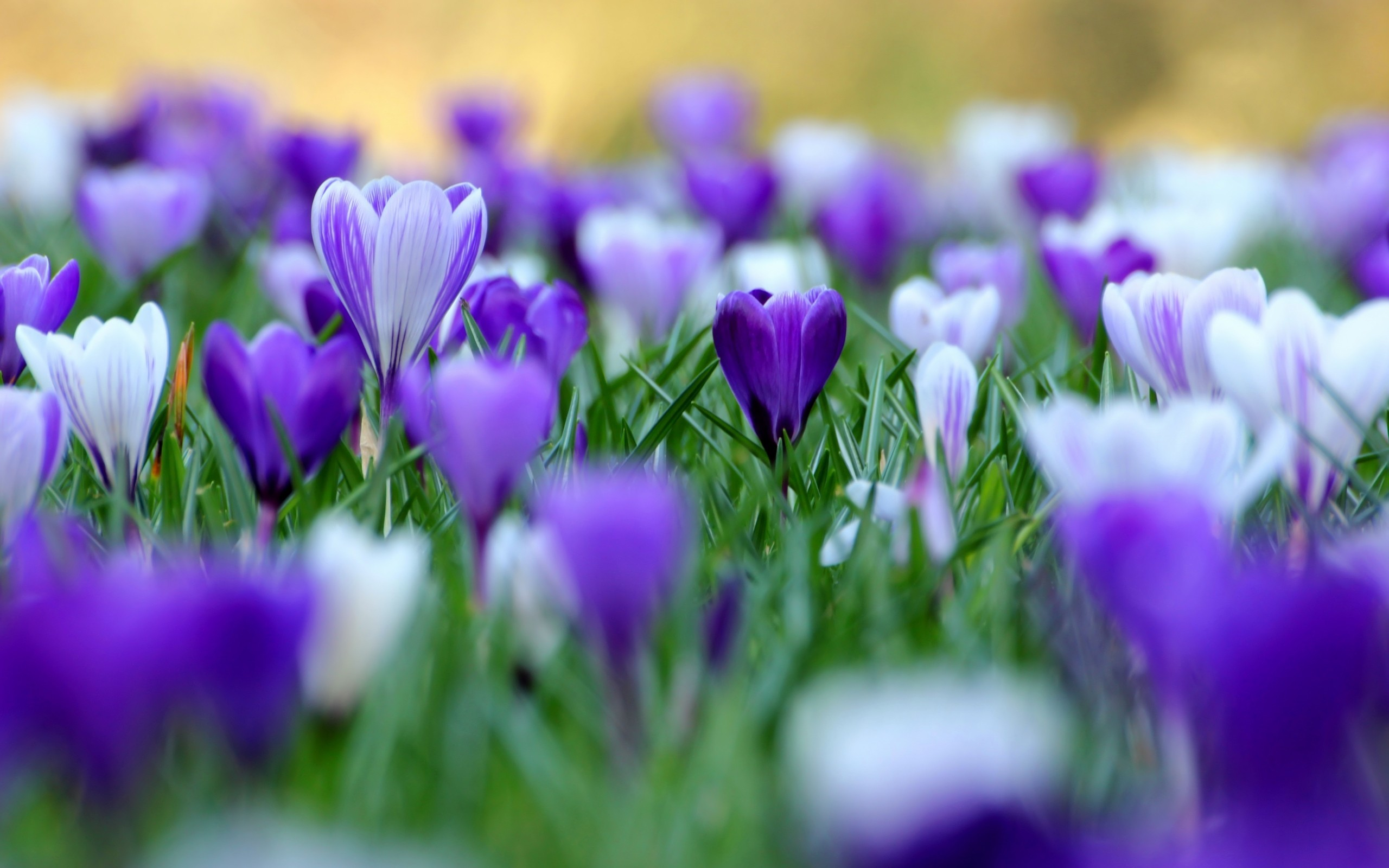 Res: 2560x1600, Nature Flowers Crocus Purple Fresh New Hd Wallpaper Your