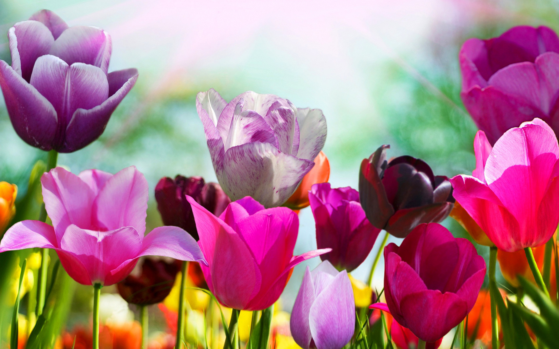 Res: 1920x1200, ... spring-wallpaper-tulip-flowers ...