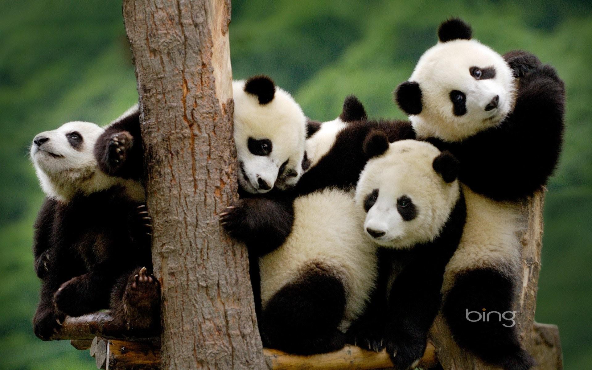 Res: 1920x1200, HD Wallpaper   Background Image ID:380354.  Animal Panda