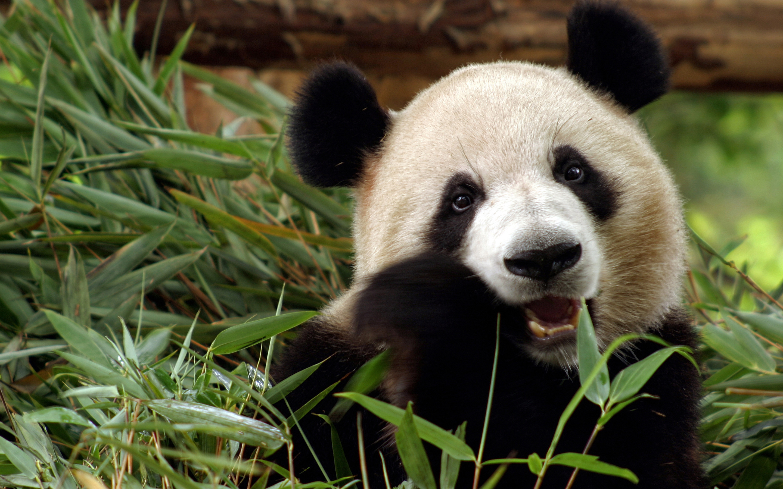 Res: 2880x1800, HD Wallpaper   Background Image ID:390782.  Animal Panda