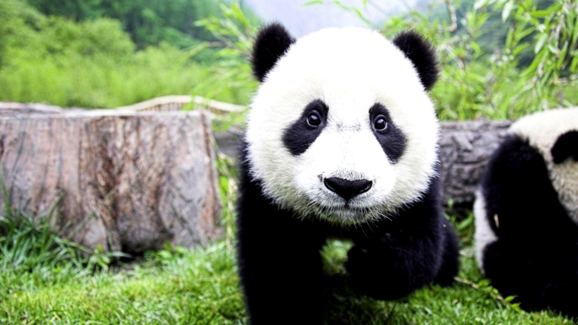 Res: 2000x1125, HD Wallpaper   Background Image ID:390654.  Animal Panda