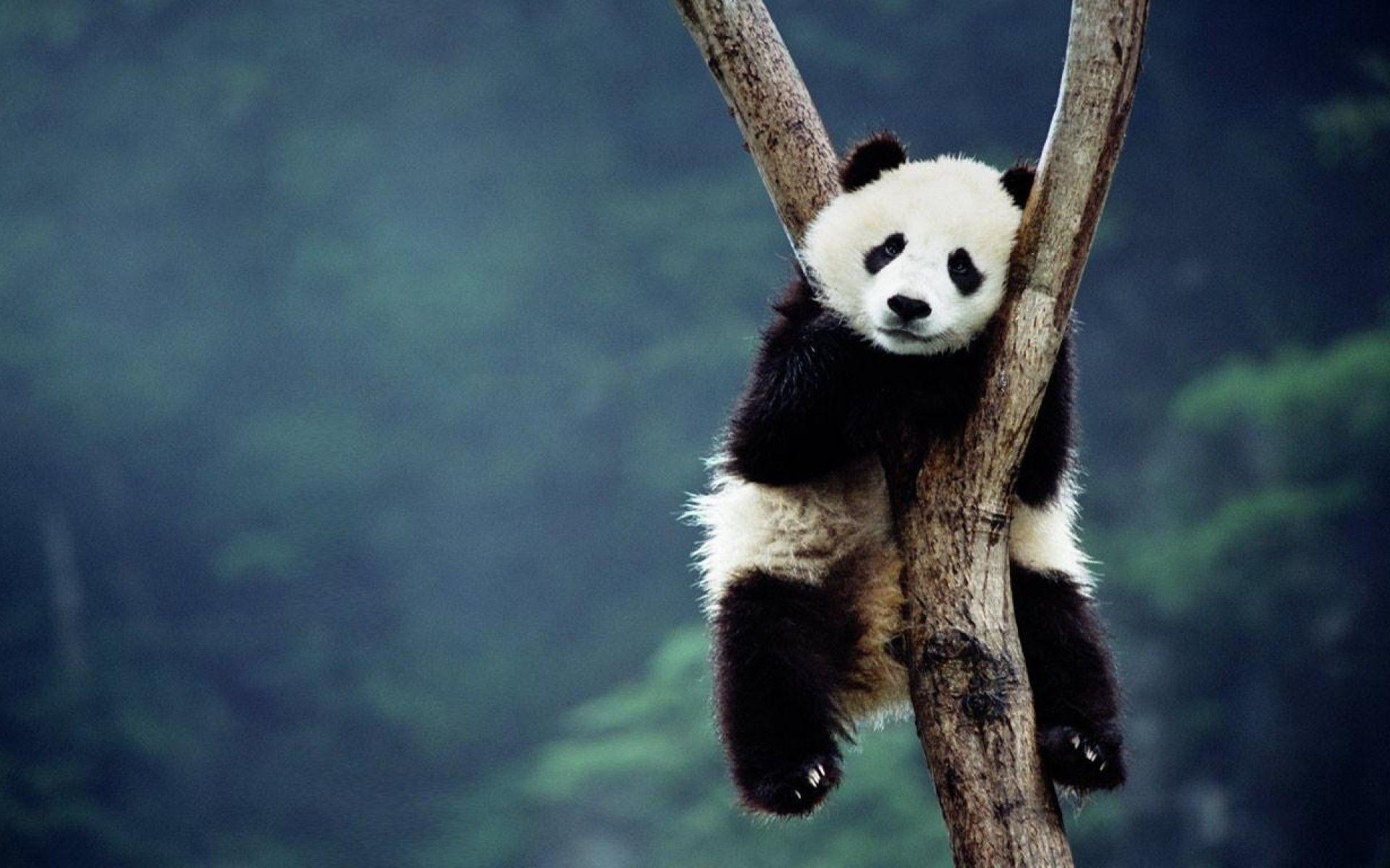 Res: 1920x1200, Baby Panda HD PC Wallpapers