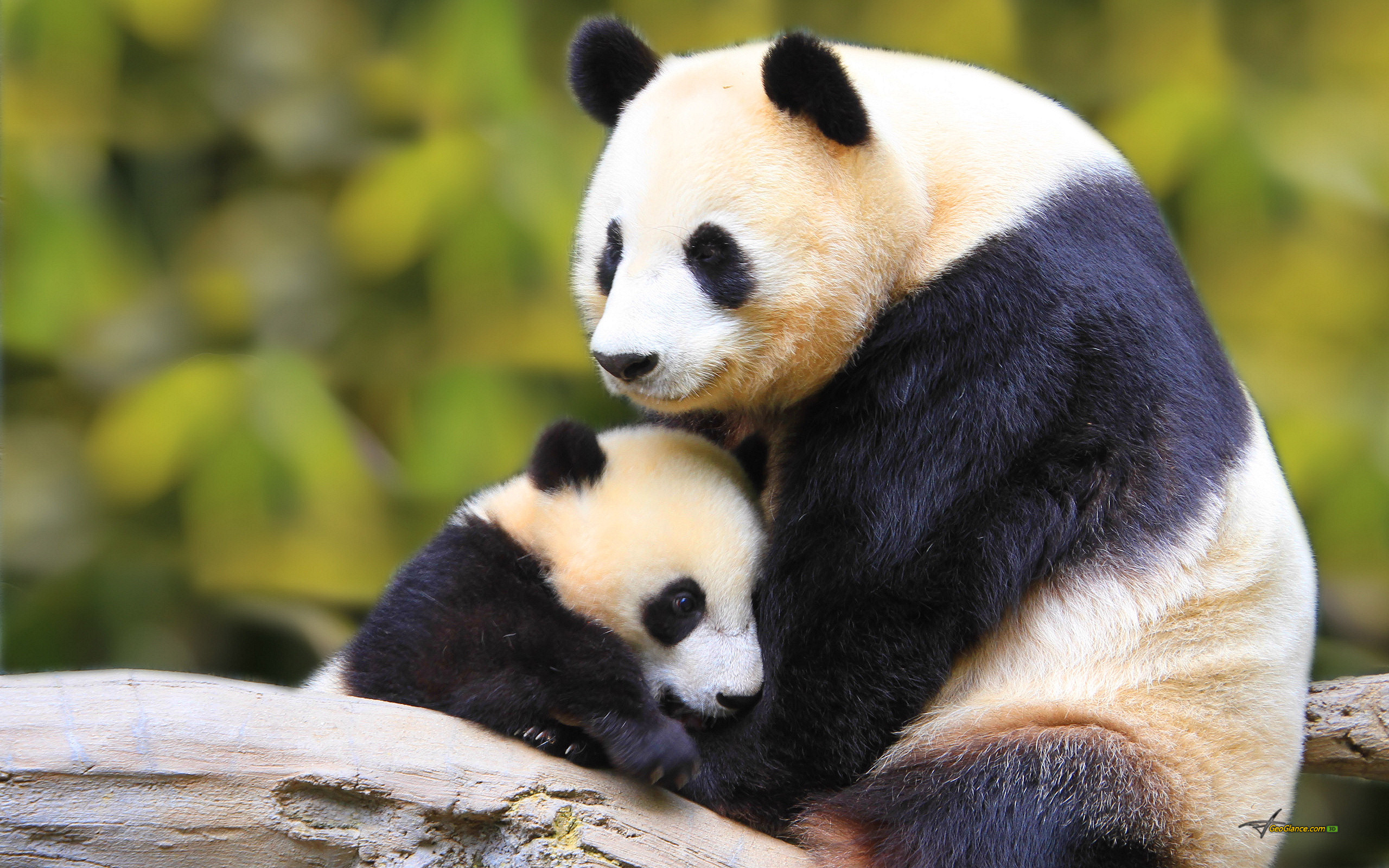 Res: 2560x1600, Baby Panda HD Images Wallpapers