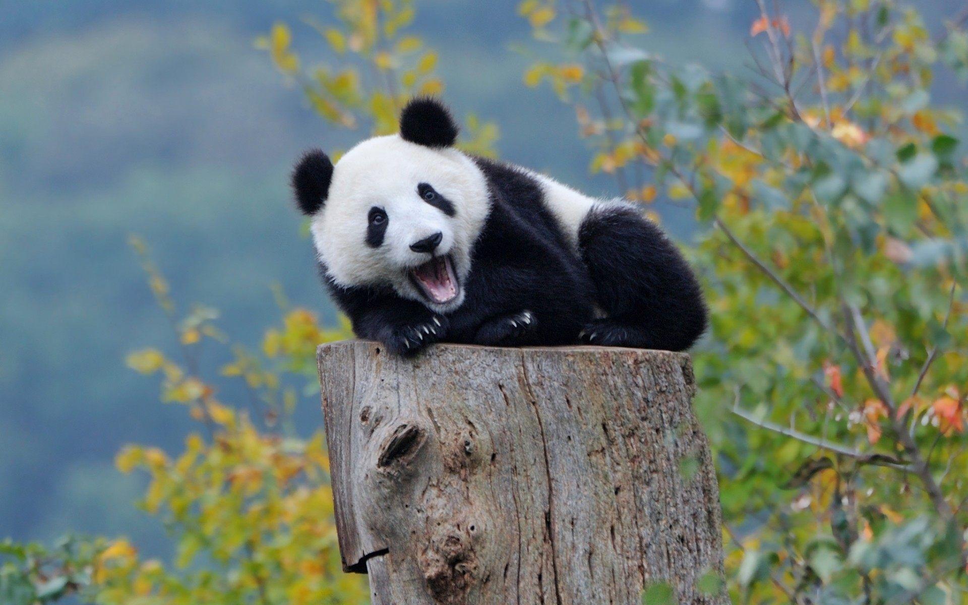 Res: 1920x1200, Baby Panda Hd Wallpaper