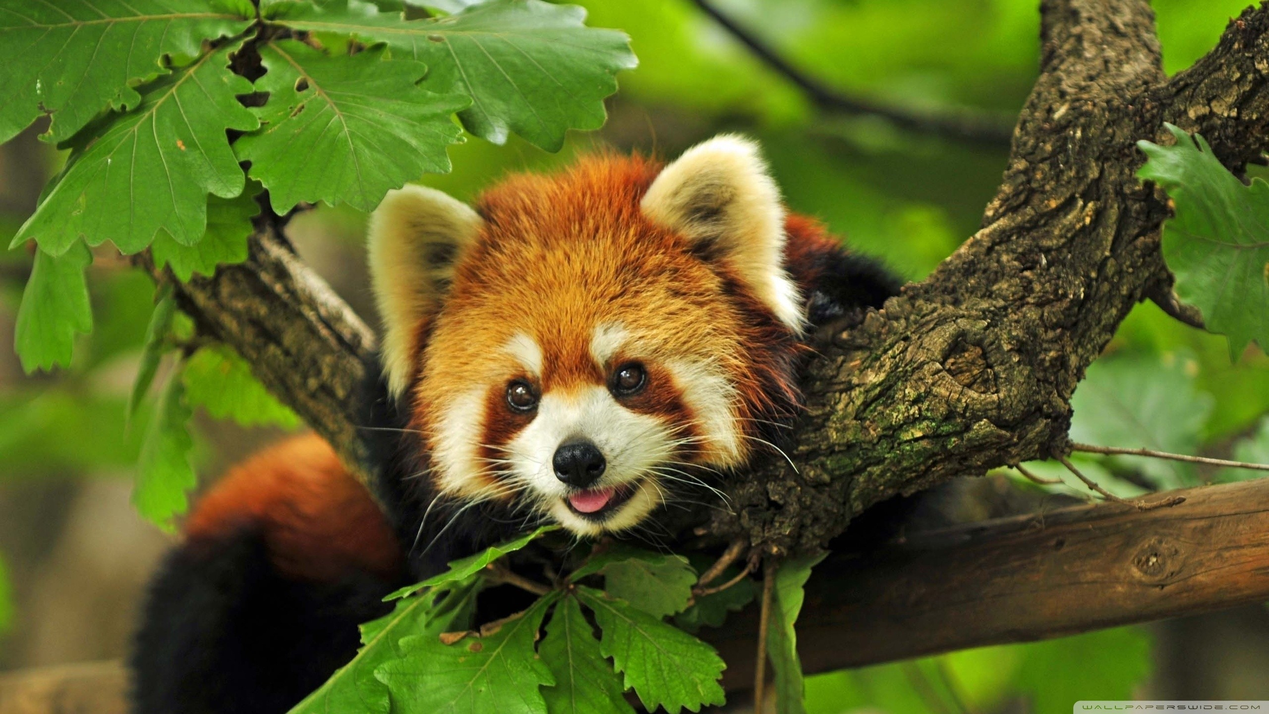 Res: 2560x1440, HD Wallpaper   Background Image ID:508662.  Animal Red Panda