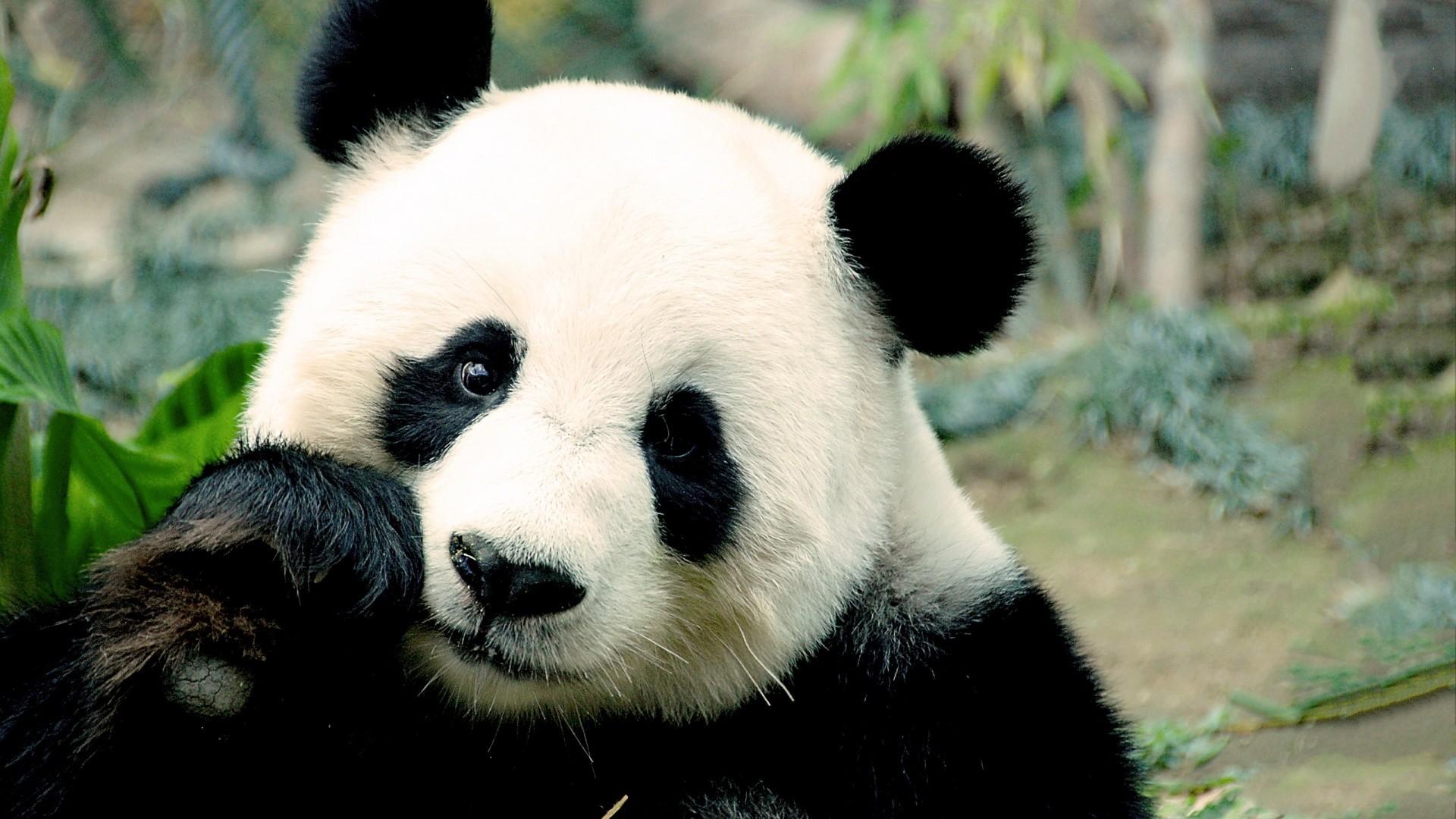 Res: 1920x1080, Cute Panda Wallpapers